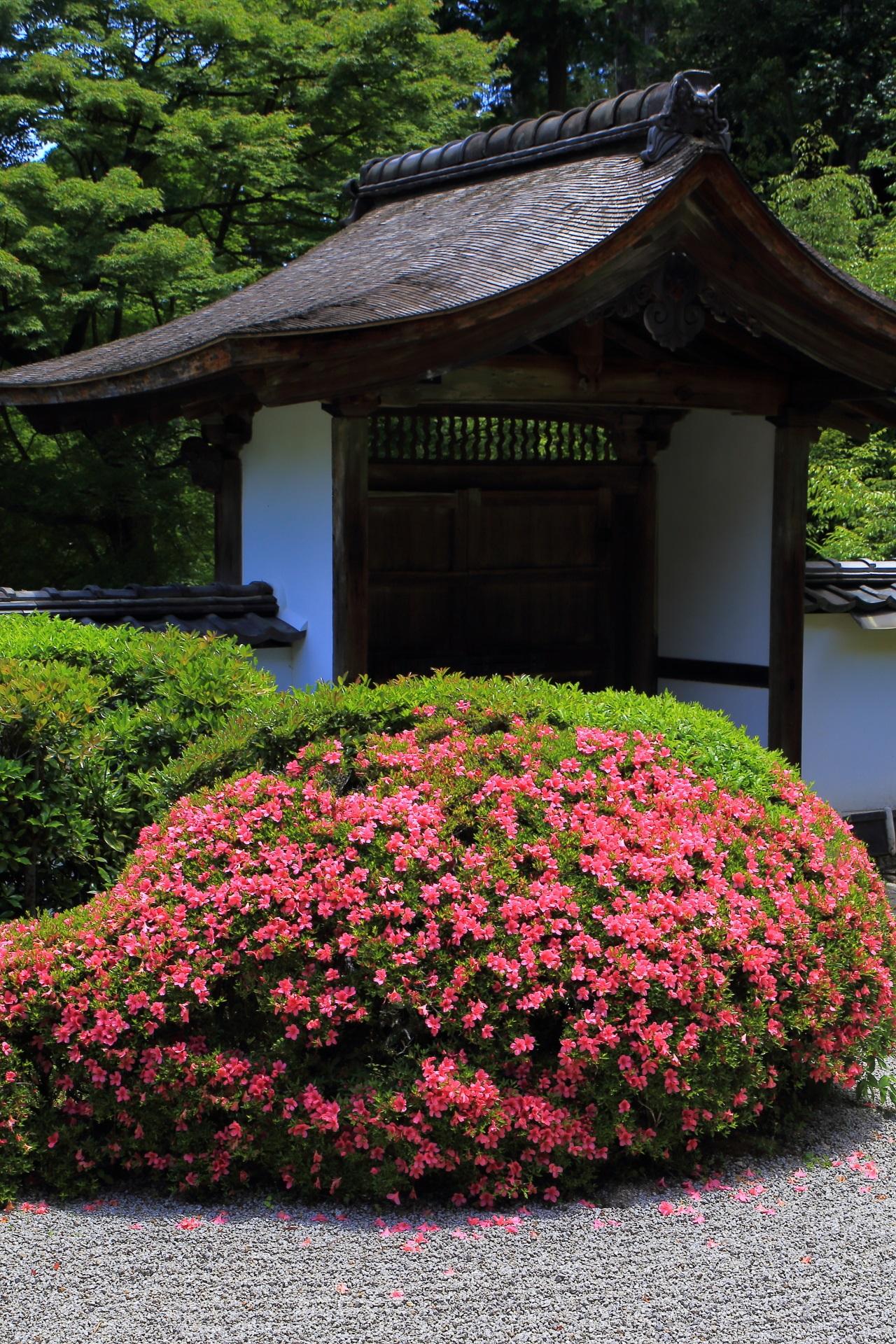 上品に輝く正伝寺のピンクのサツキの花