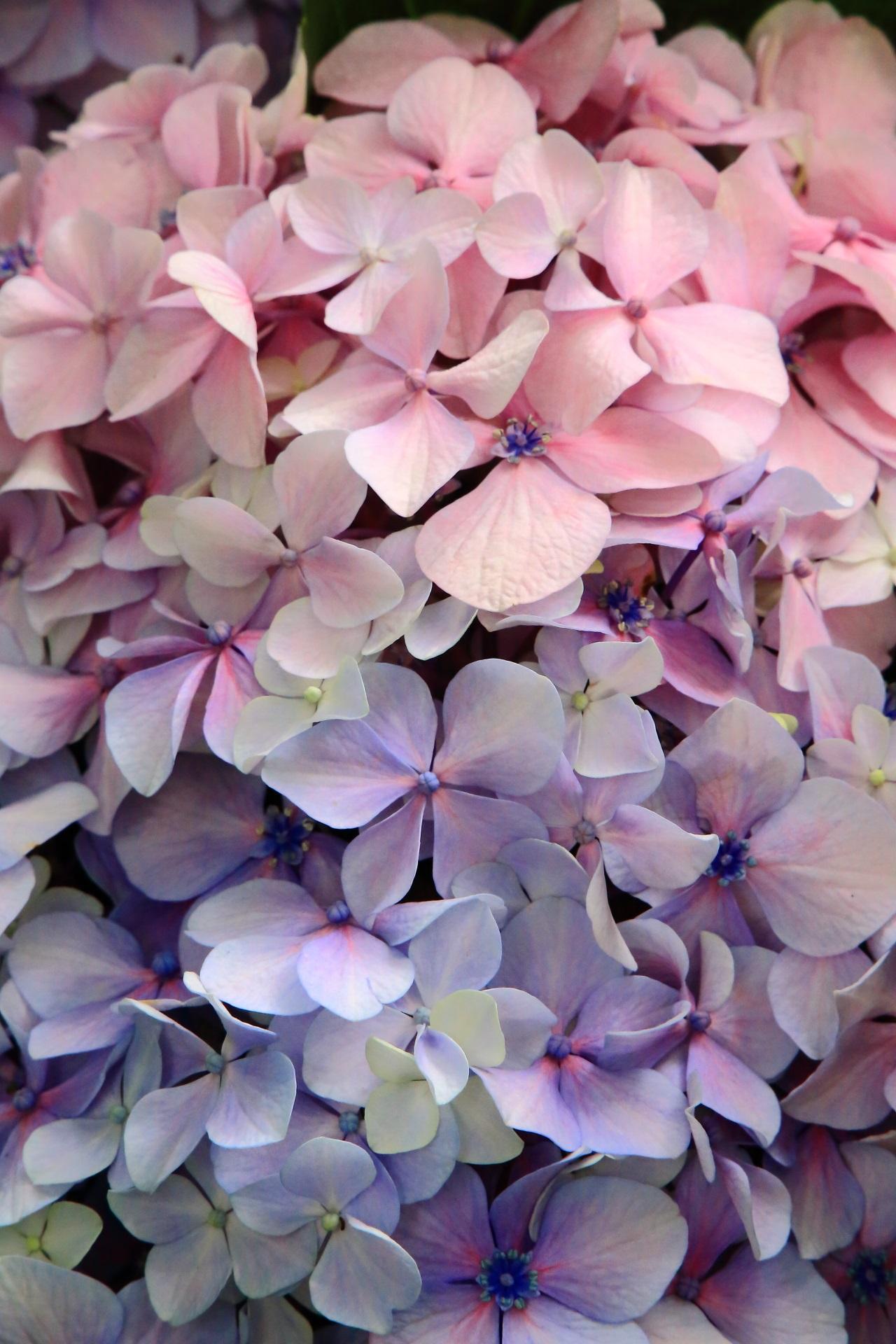 淡いピンクとブルーの上品な紫陽花