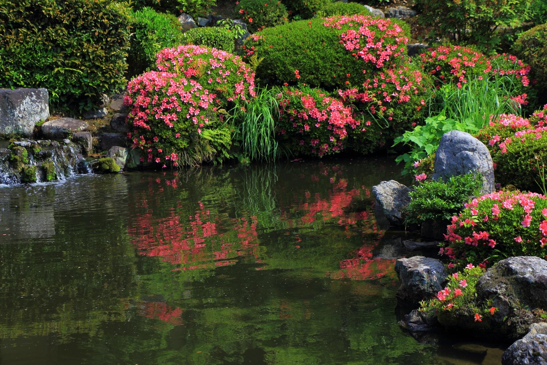 等持院の芙蓉池の水辺の鮮やかなピンクのサツキ