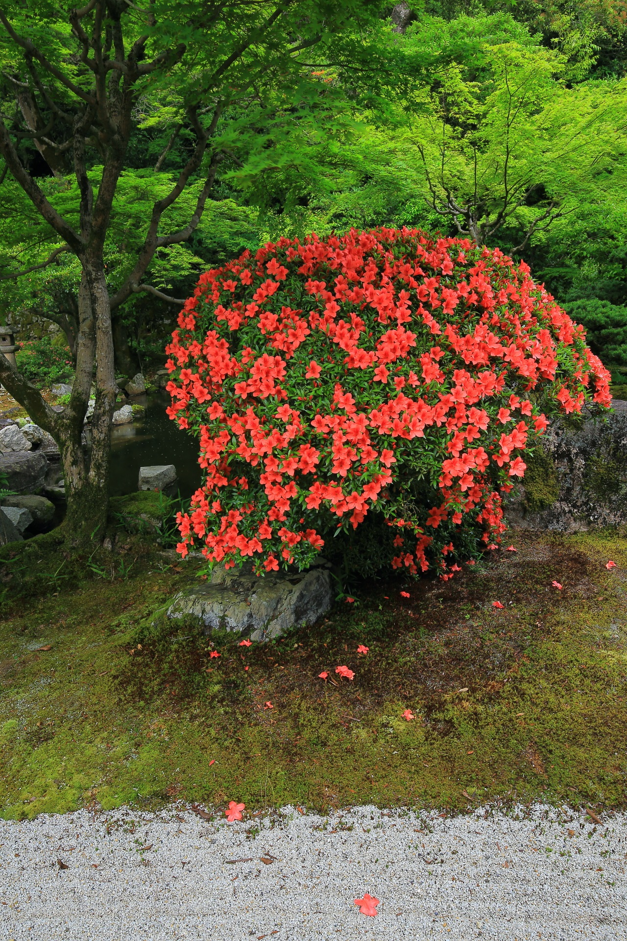 Kyoto Chion-in Temple Hojo-teien Garden azalea