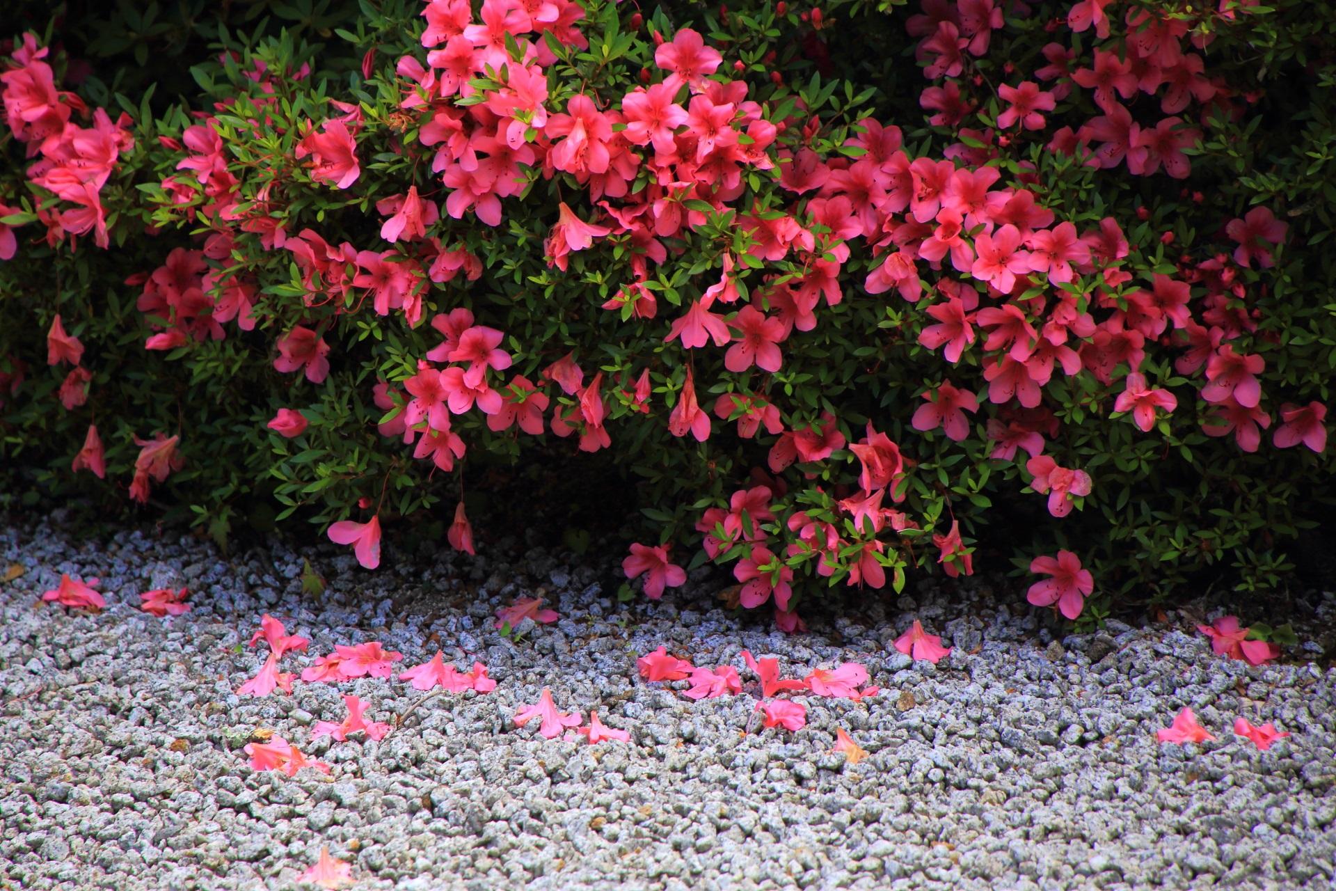白砂に可憐に散るサツキの花