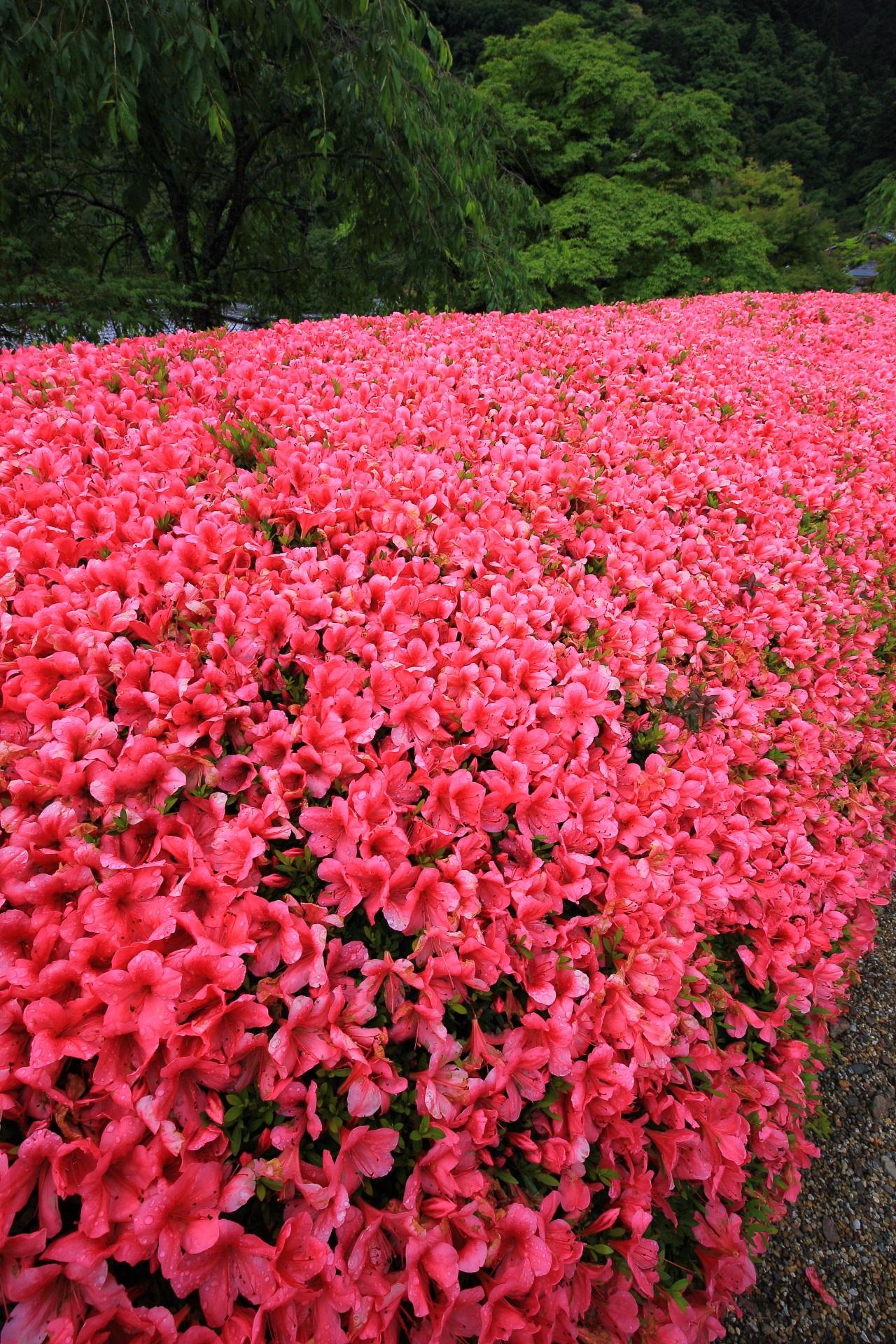圧巻のサツキで一面ピンクに彩られる初夏の善峯寺