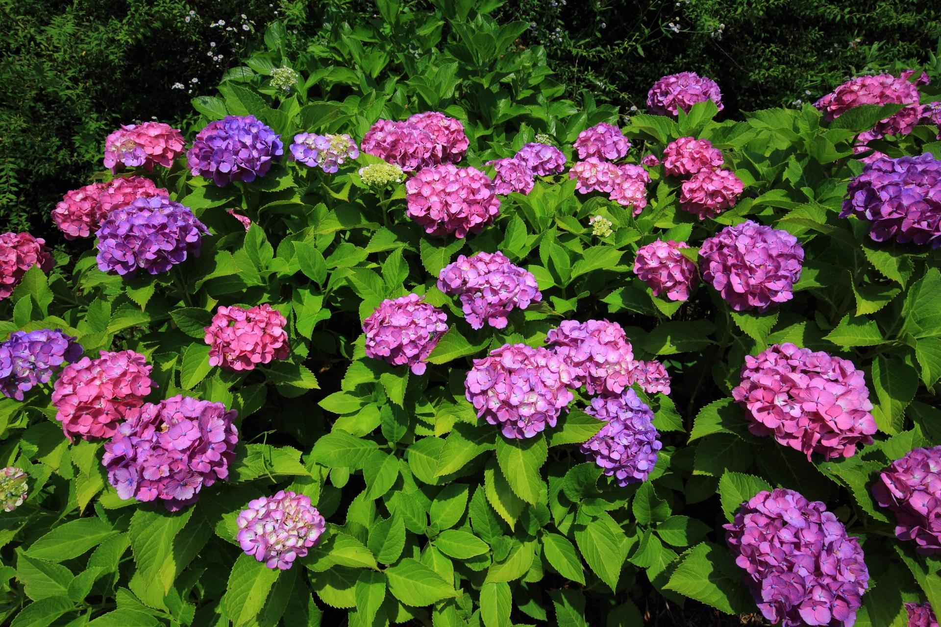 宇治川派流の鮮やかな色合いの紫陽花