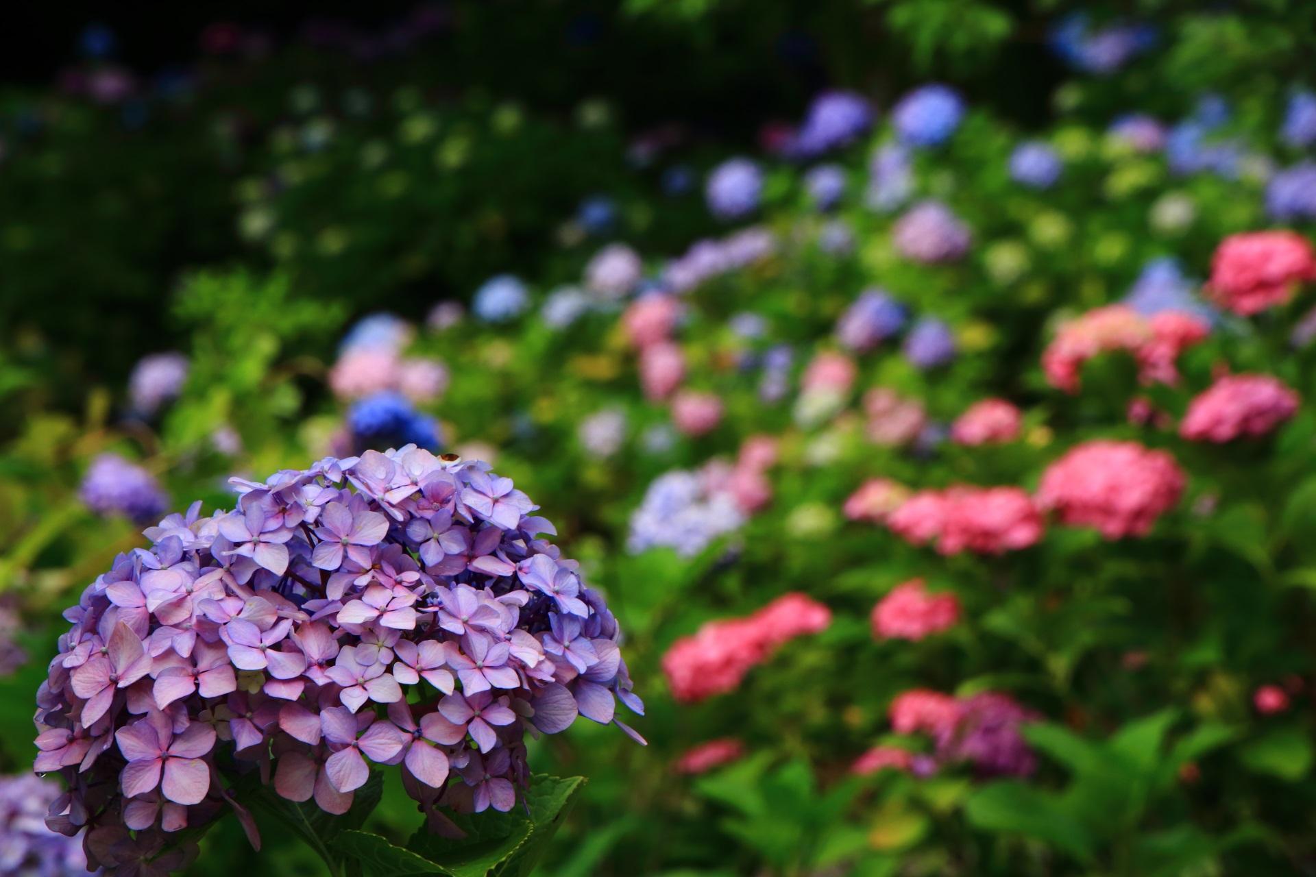 紫陽花の名所の智積院