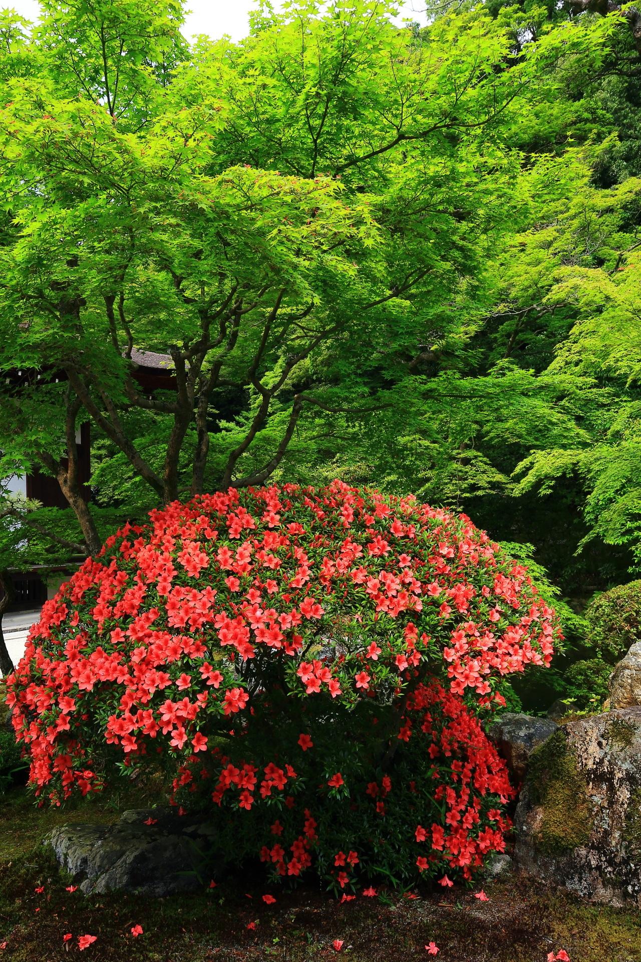 深い緑の中で煌く華やかなサツキの花