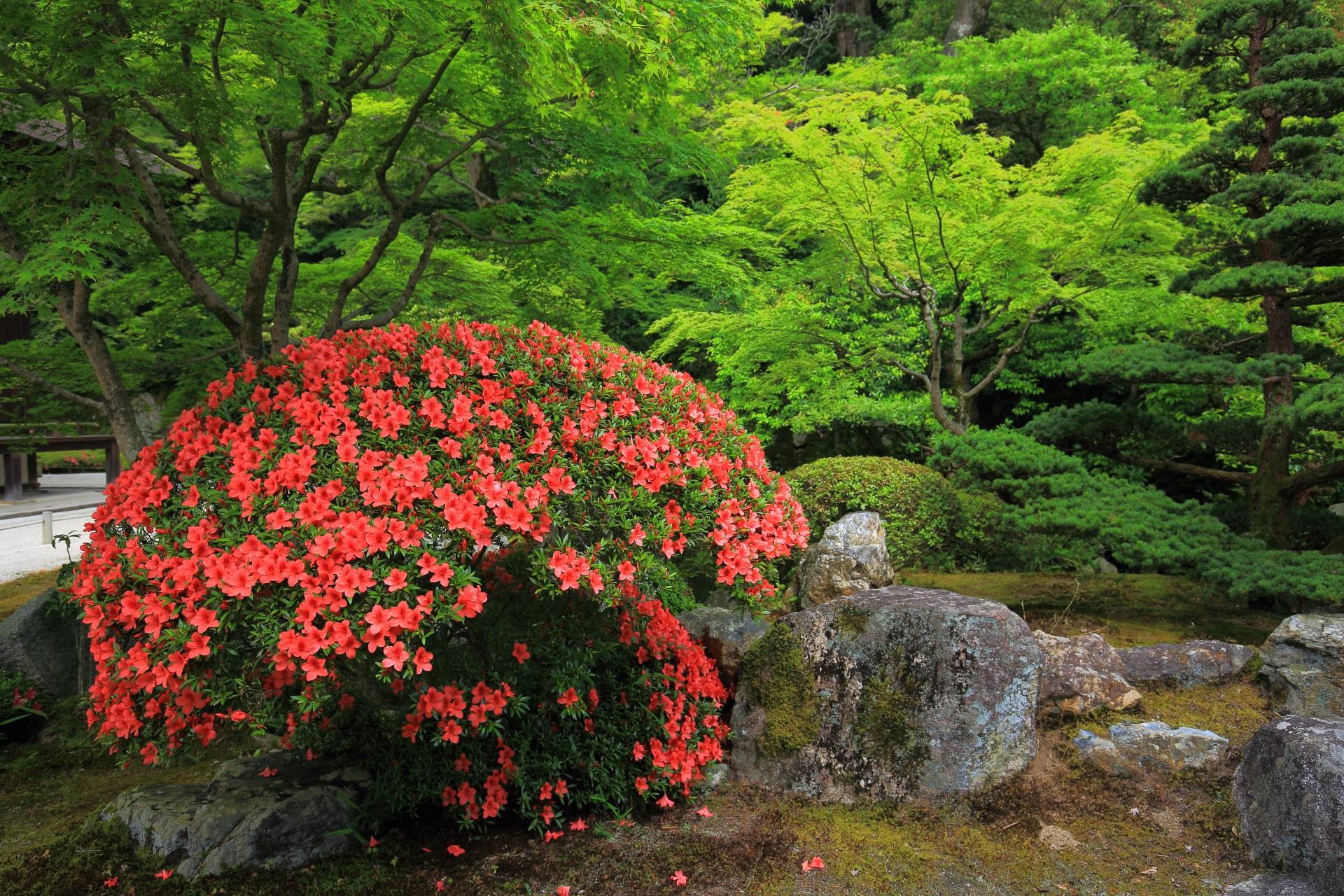 知恩院方丈庭園の目を引くような鮮烈な朱色のサツキ
