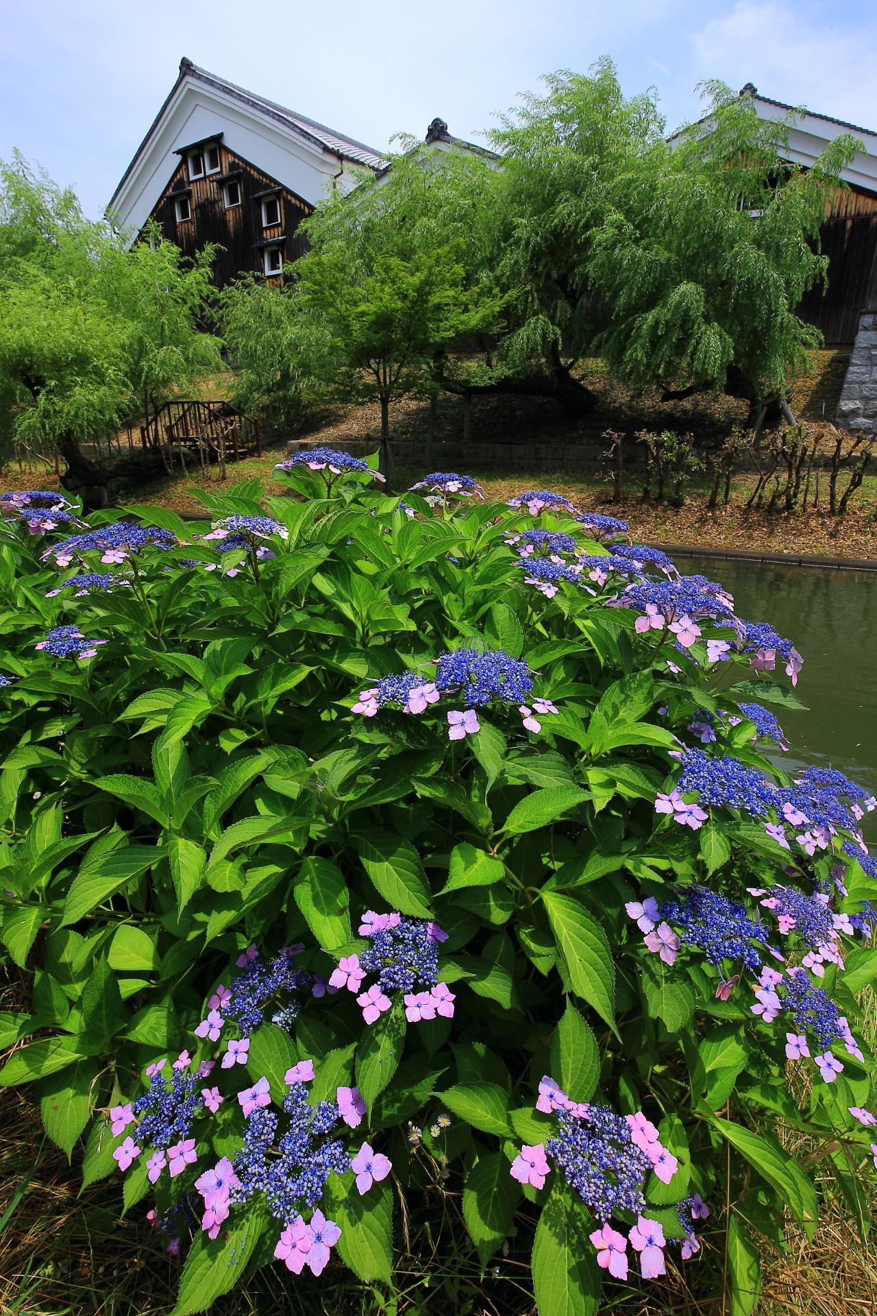 高画質 紫陽花 写真 宇治川派流