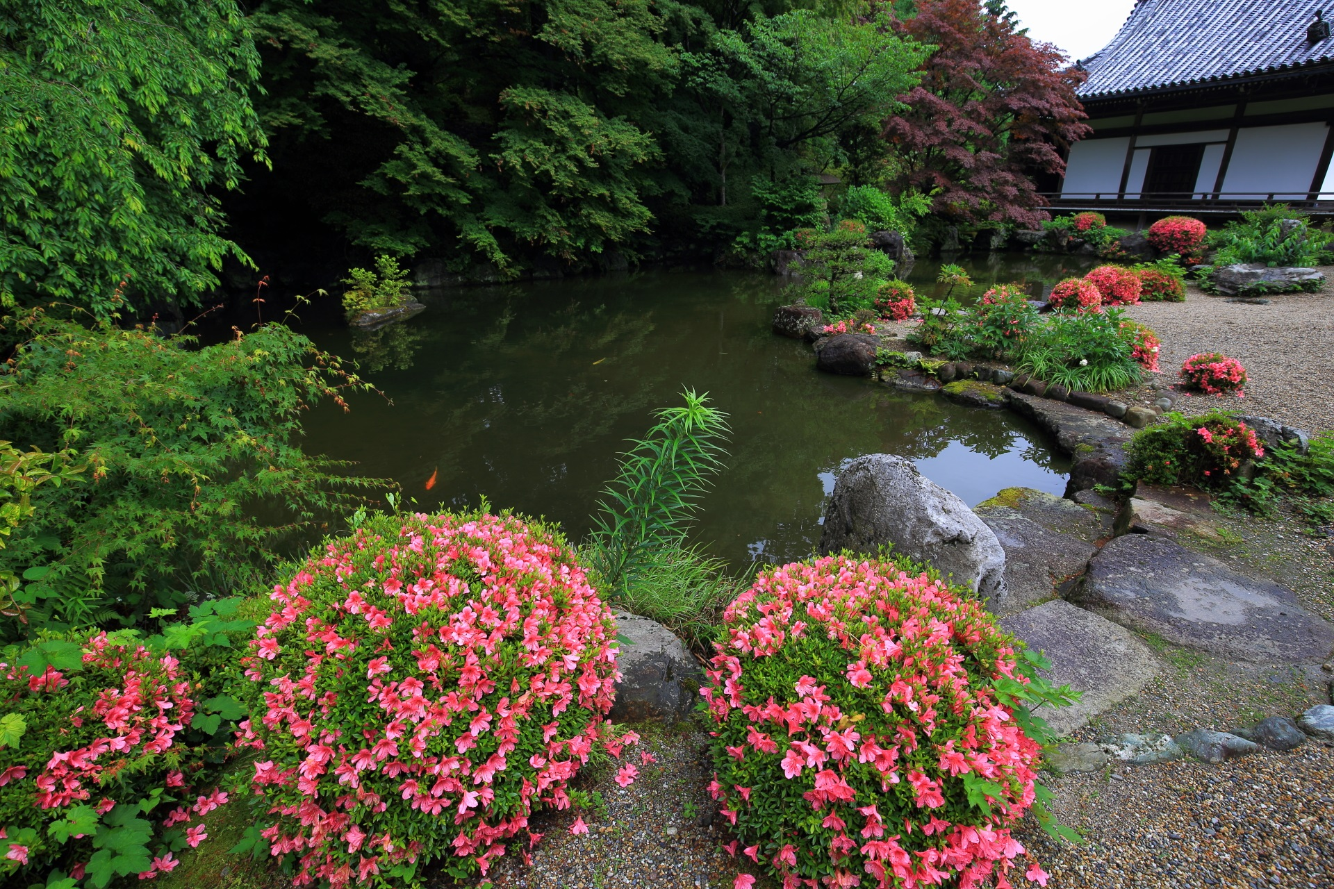 蓮華寿院旧跡庭の緑の中で映える華やかなサツキ