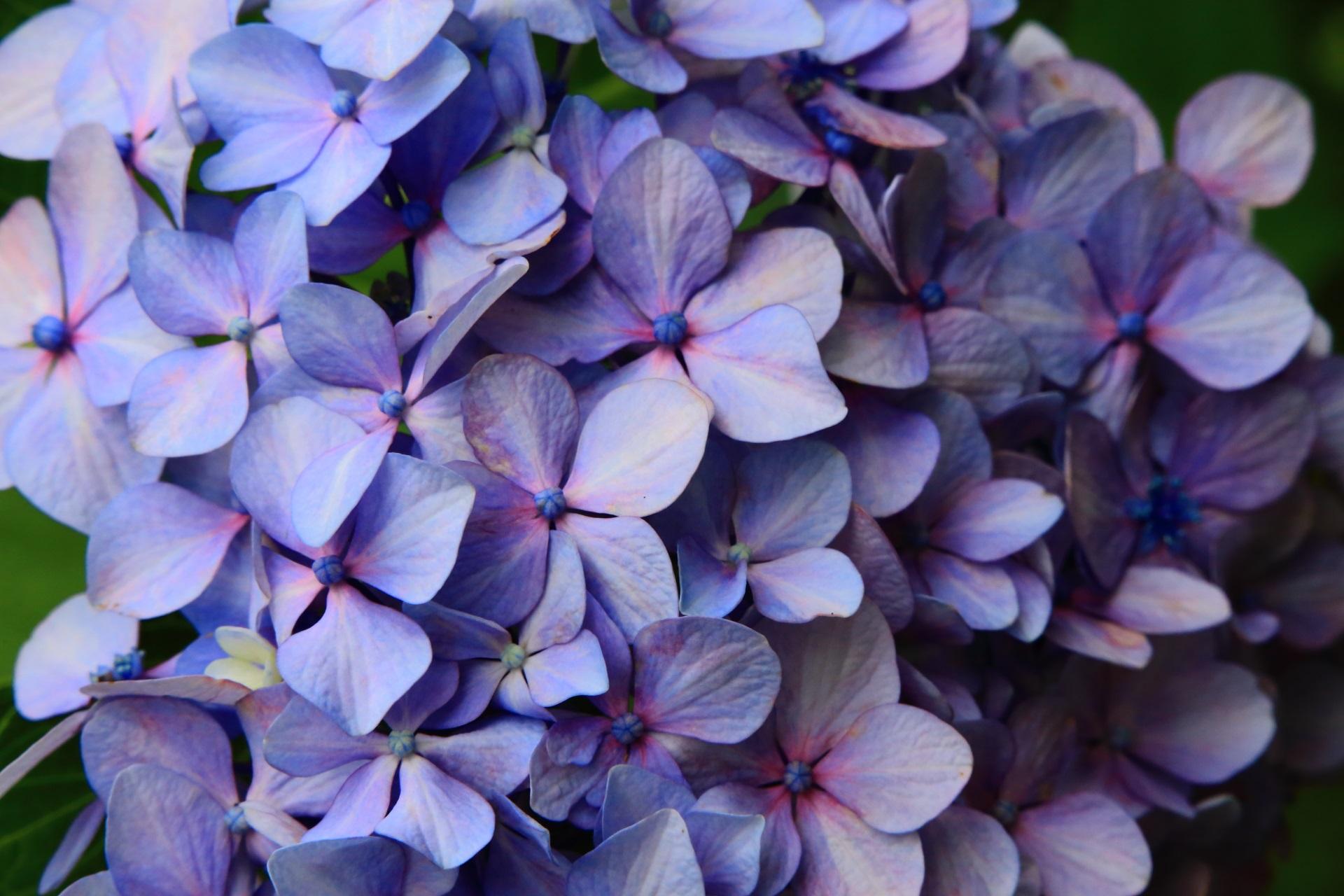 やや紫や赤が入った淡いブルーの紫陽花