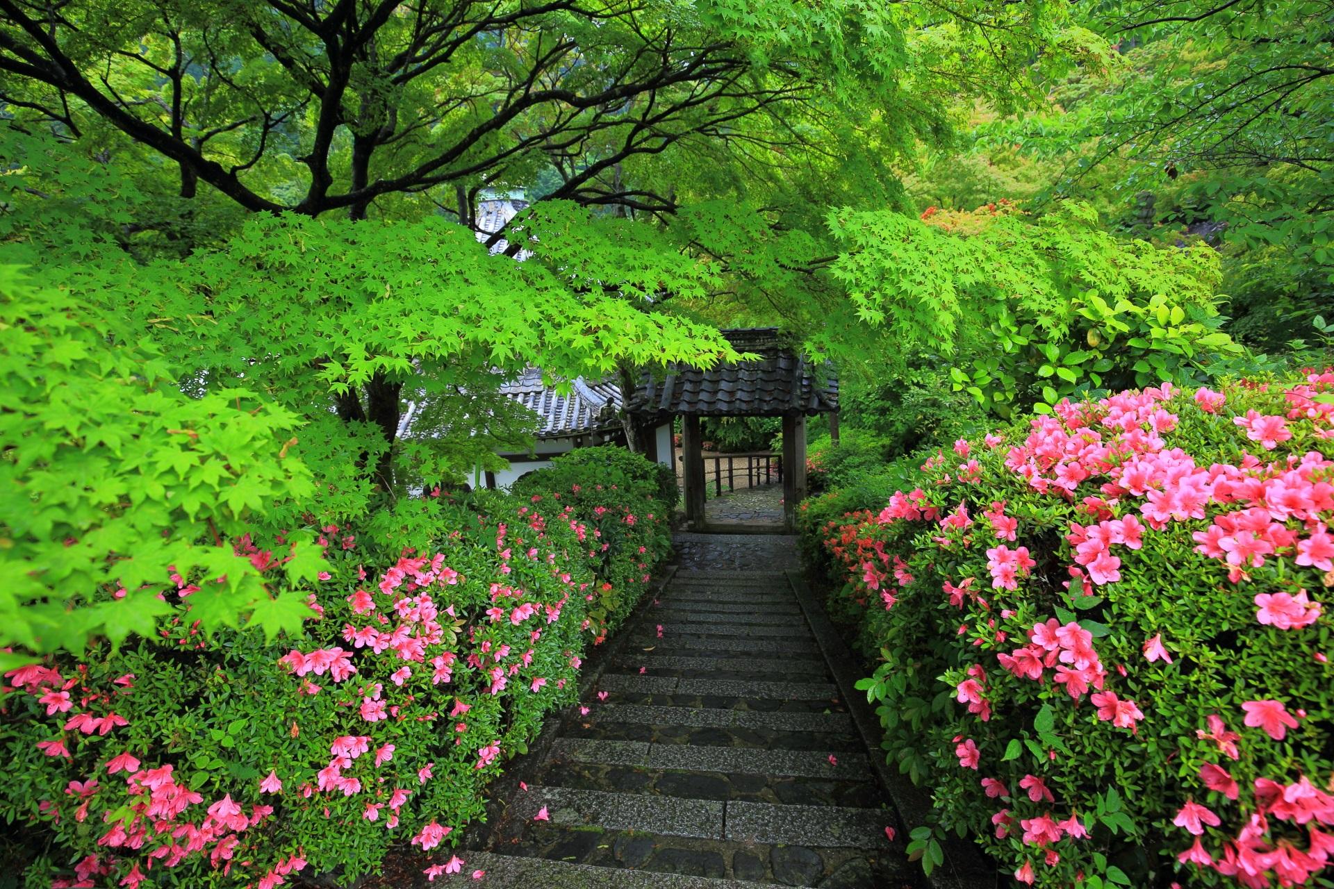 淡い緑と華やかなピンクの色合いがお見事な善峯寺の桂昌院廟前の新緑とサツキ