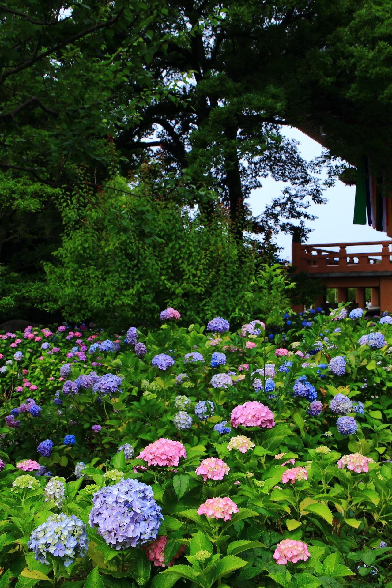たくさん咲いているアジサイの華やかな初夏の彩り