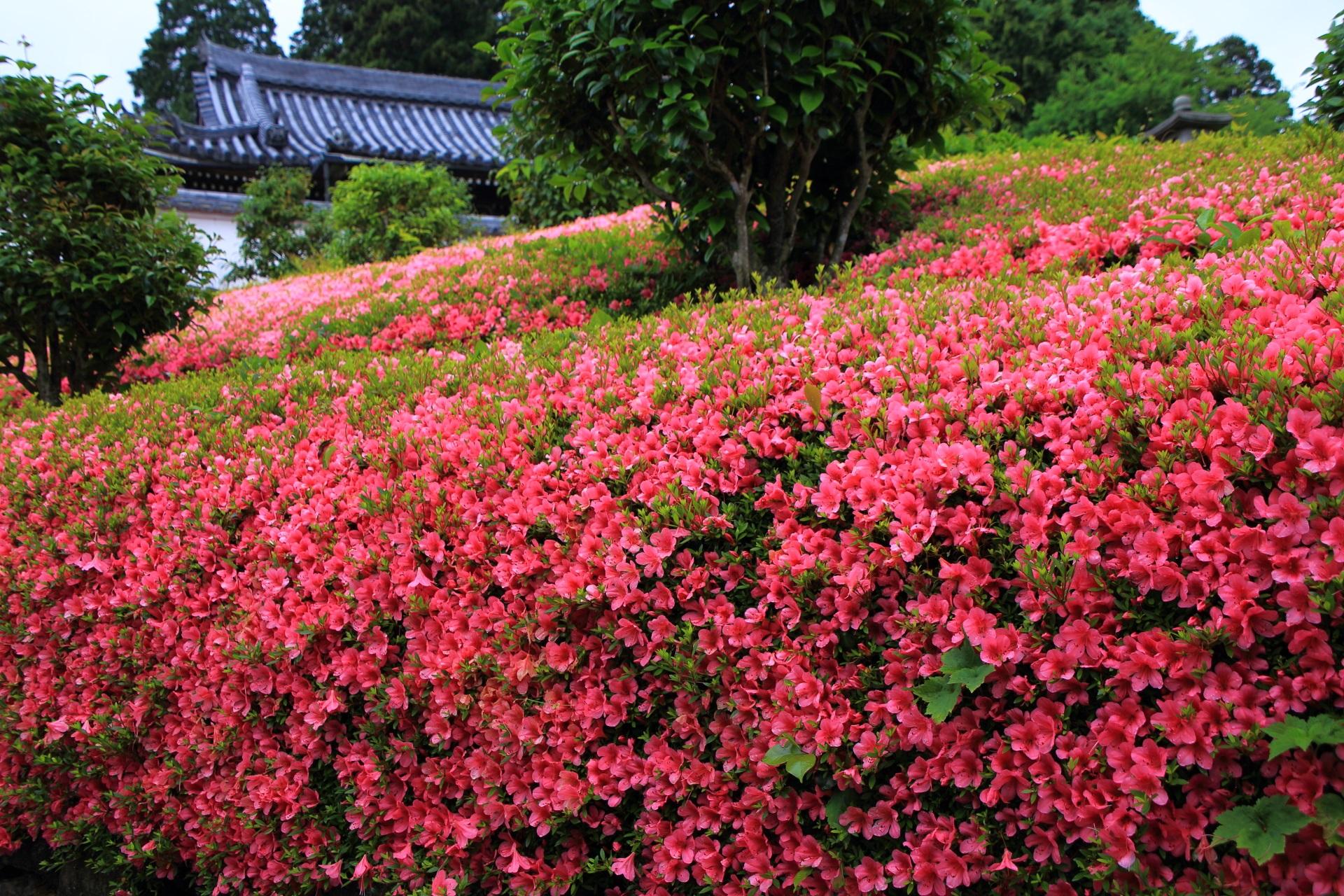 溢れ出す色鮮やかなサツキの花