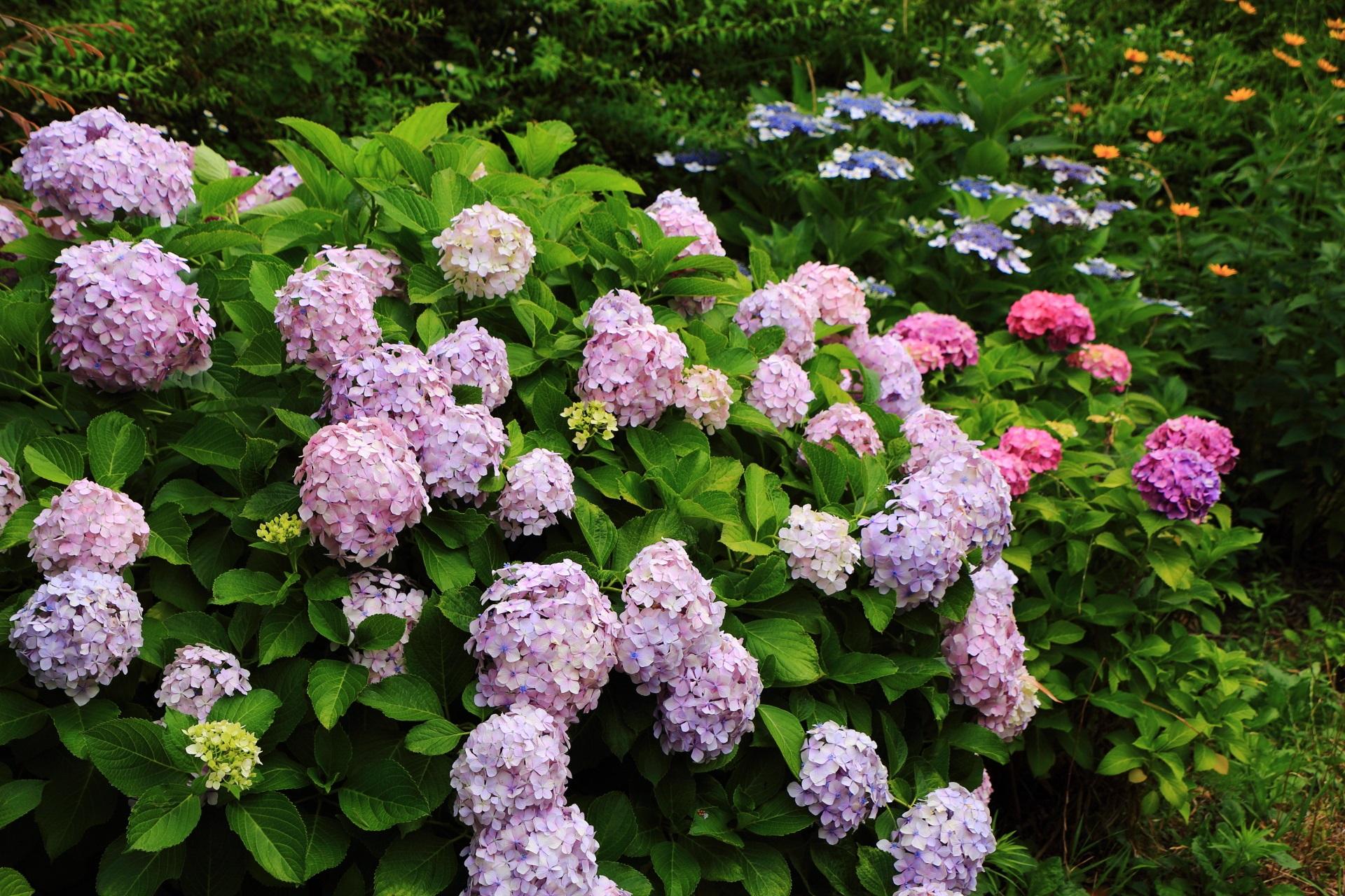 近年急激に人気が上っている宇治川派流の紫陽花