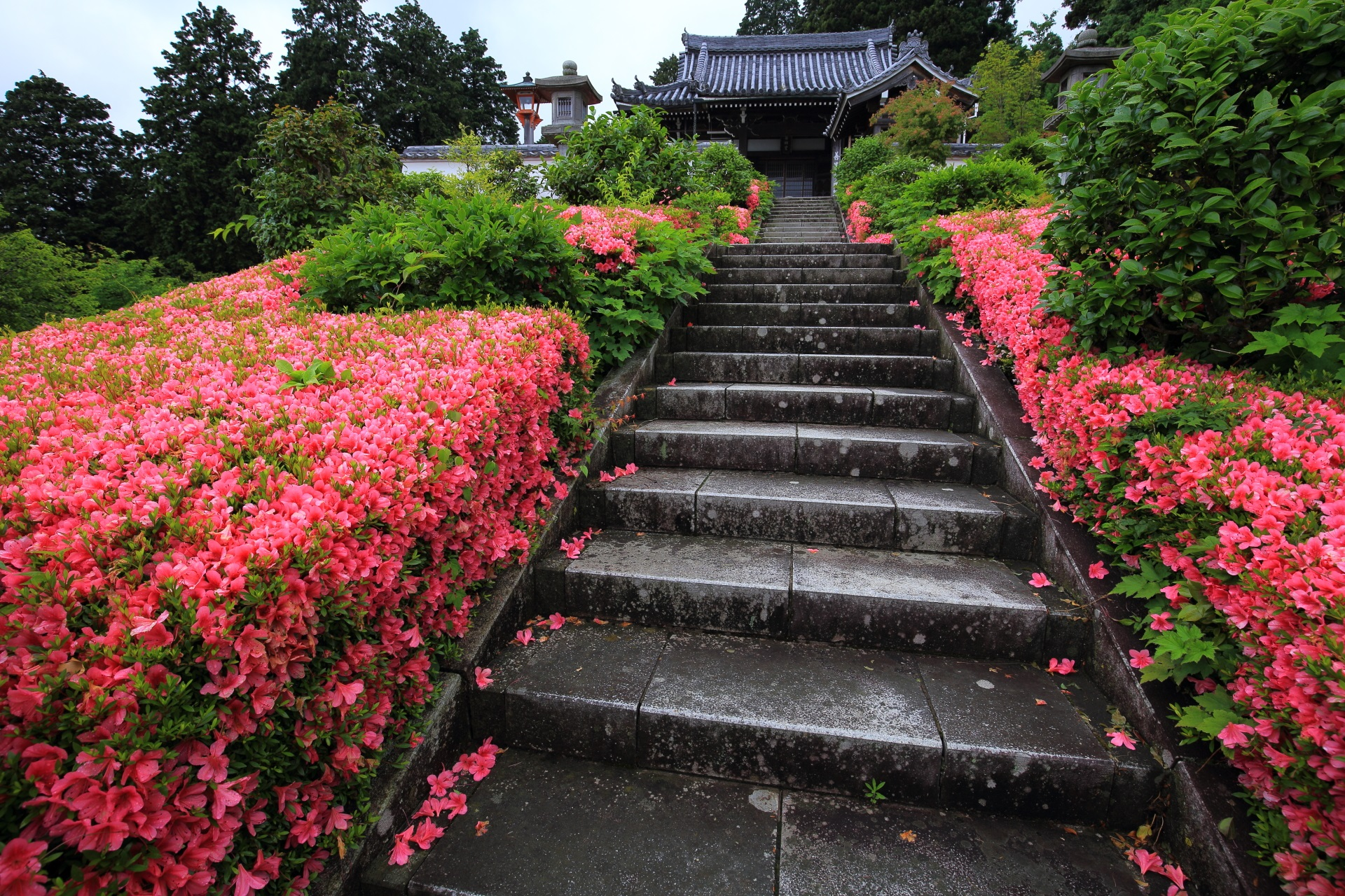 サツキがまだまだ豪快に咲く薬師堂前の石段
