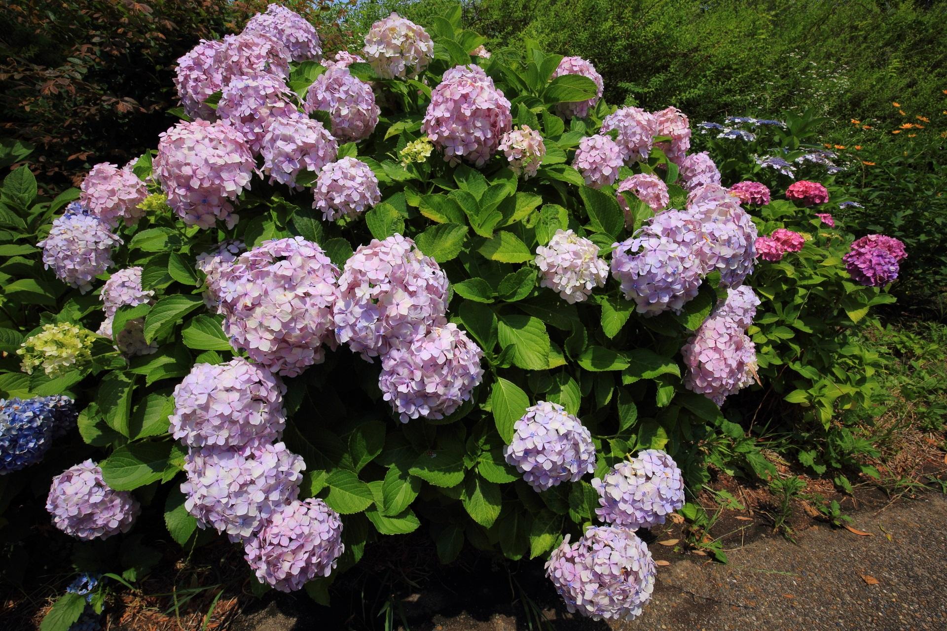 宇治川派流のいっぱい咲く華やかな紫陽花