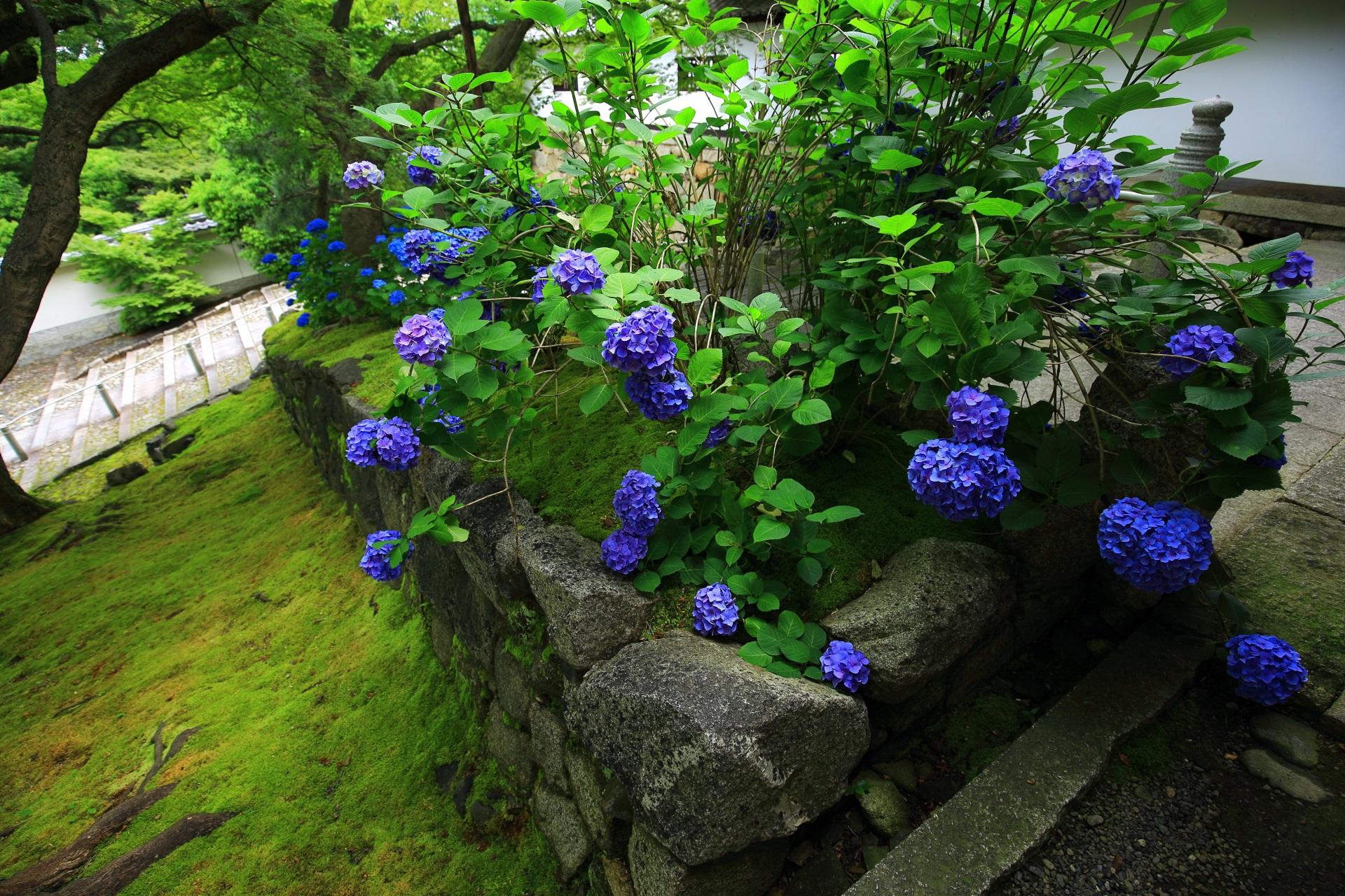 紫陽花の青と苔の緑との綺麗なコントラスト