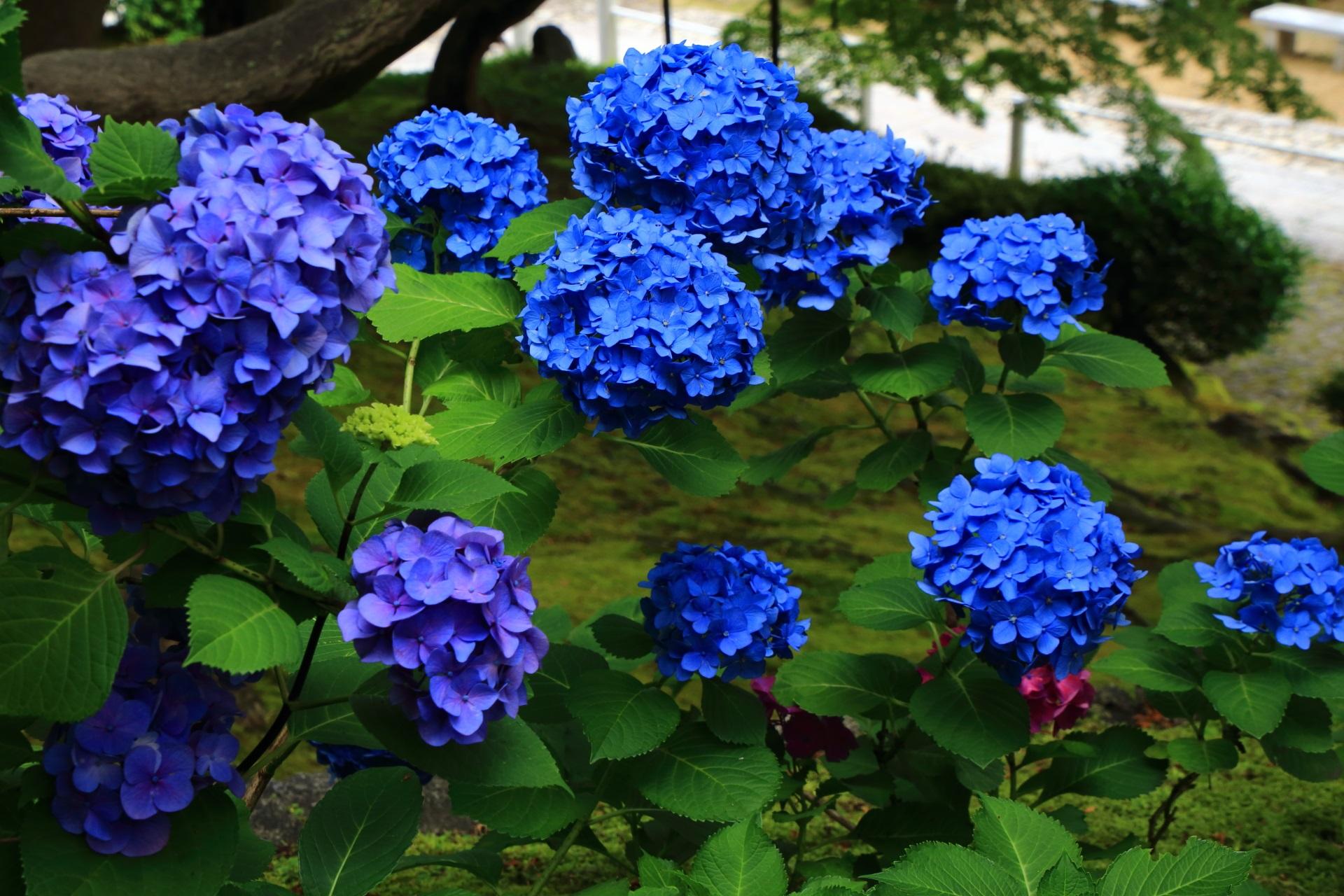 知恩院の目を引くような鮮やかな青い紫陽花