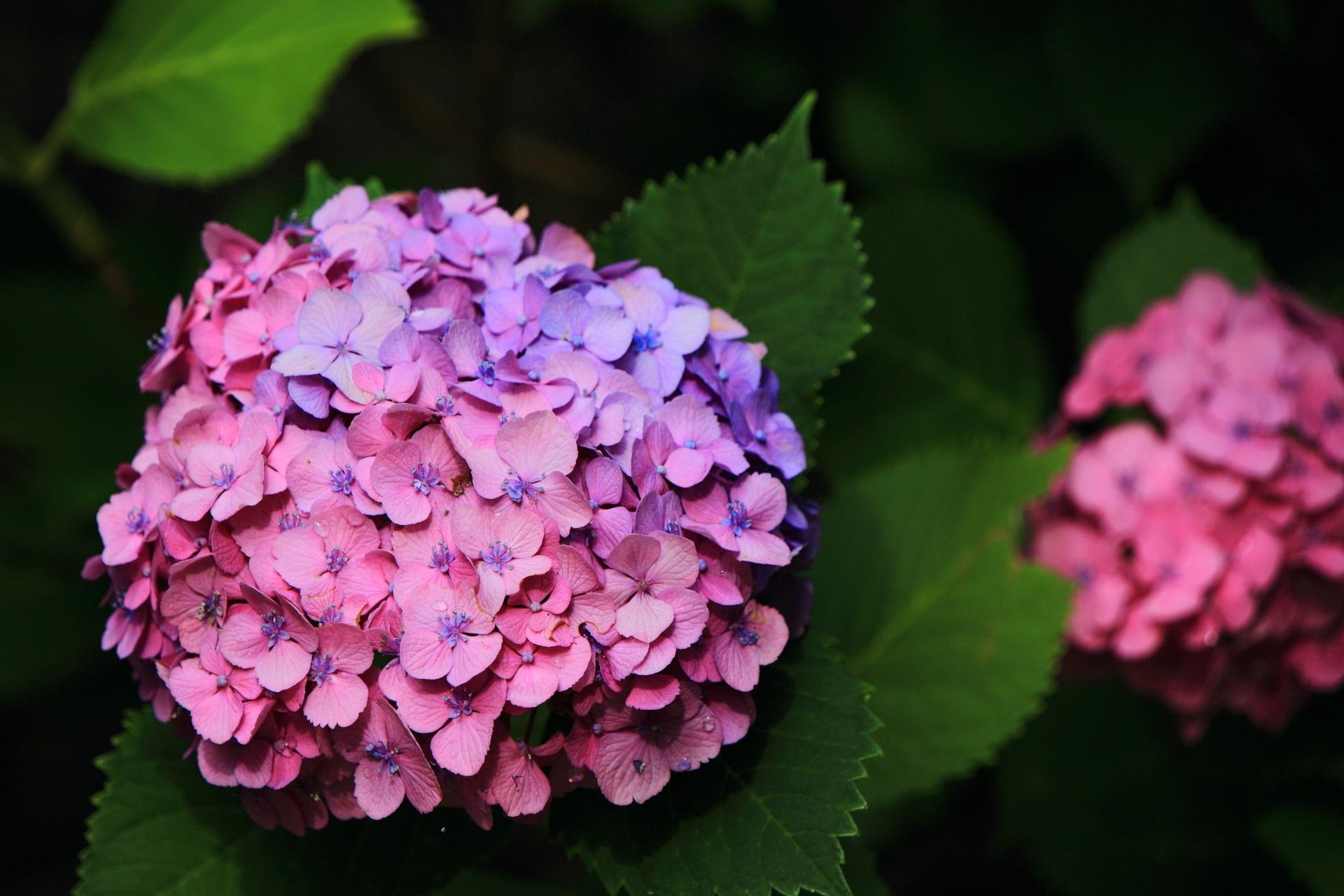 智積院の鮮やかな色合いの紫陽花