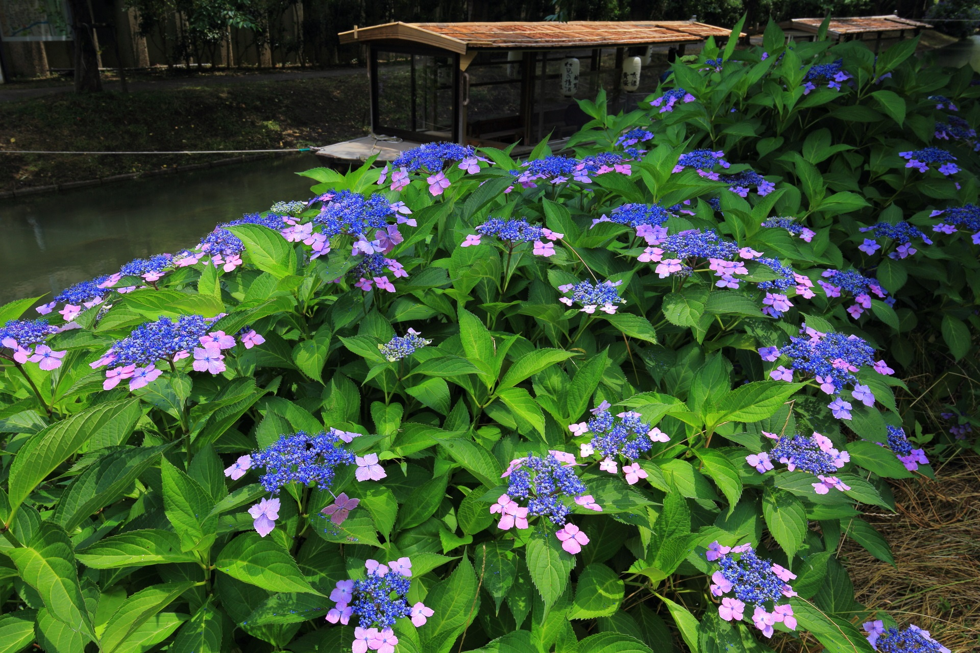 伏見十石舟(じっこくぶね)と額紫陽花
