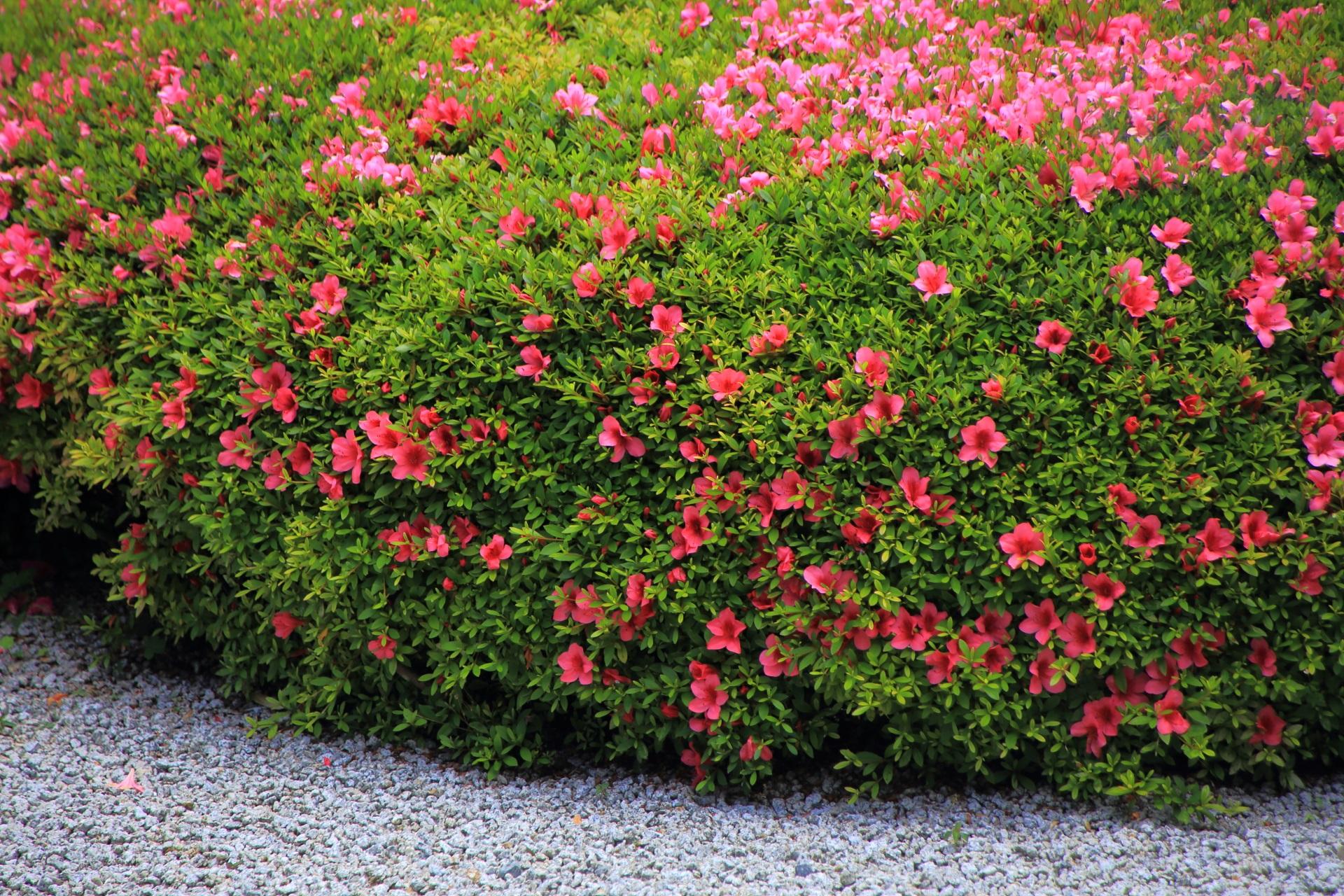 白砂と淡い緑に映える華やかなピンクのサツキ