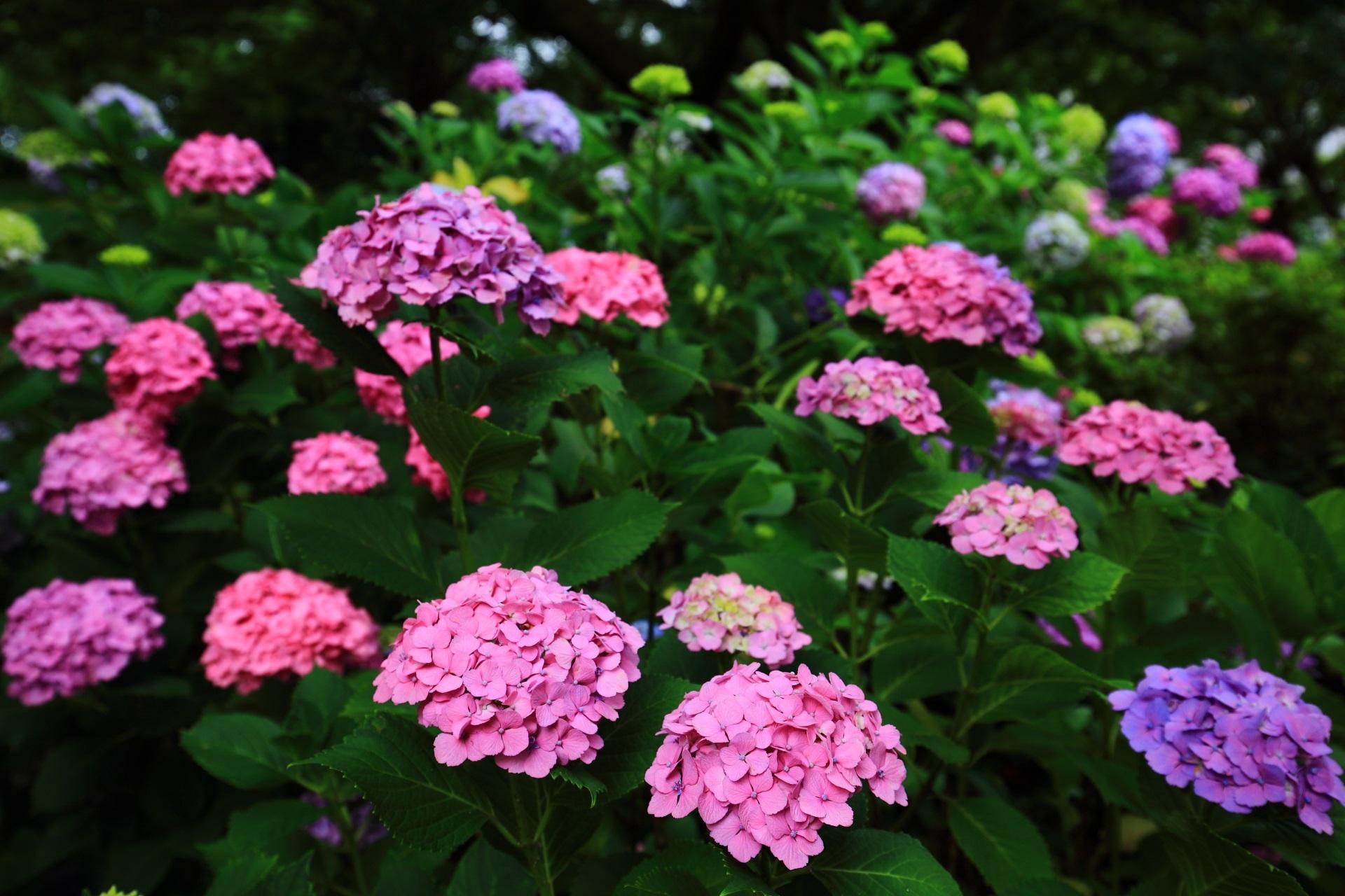 色とりどりの紫陽花で溢れる智積院
