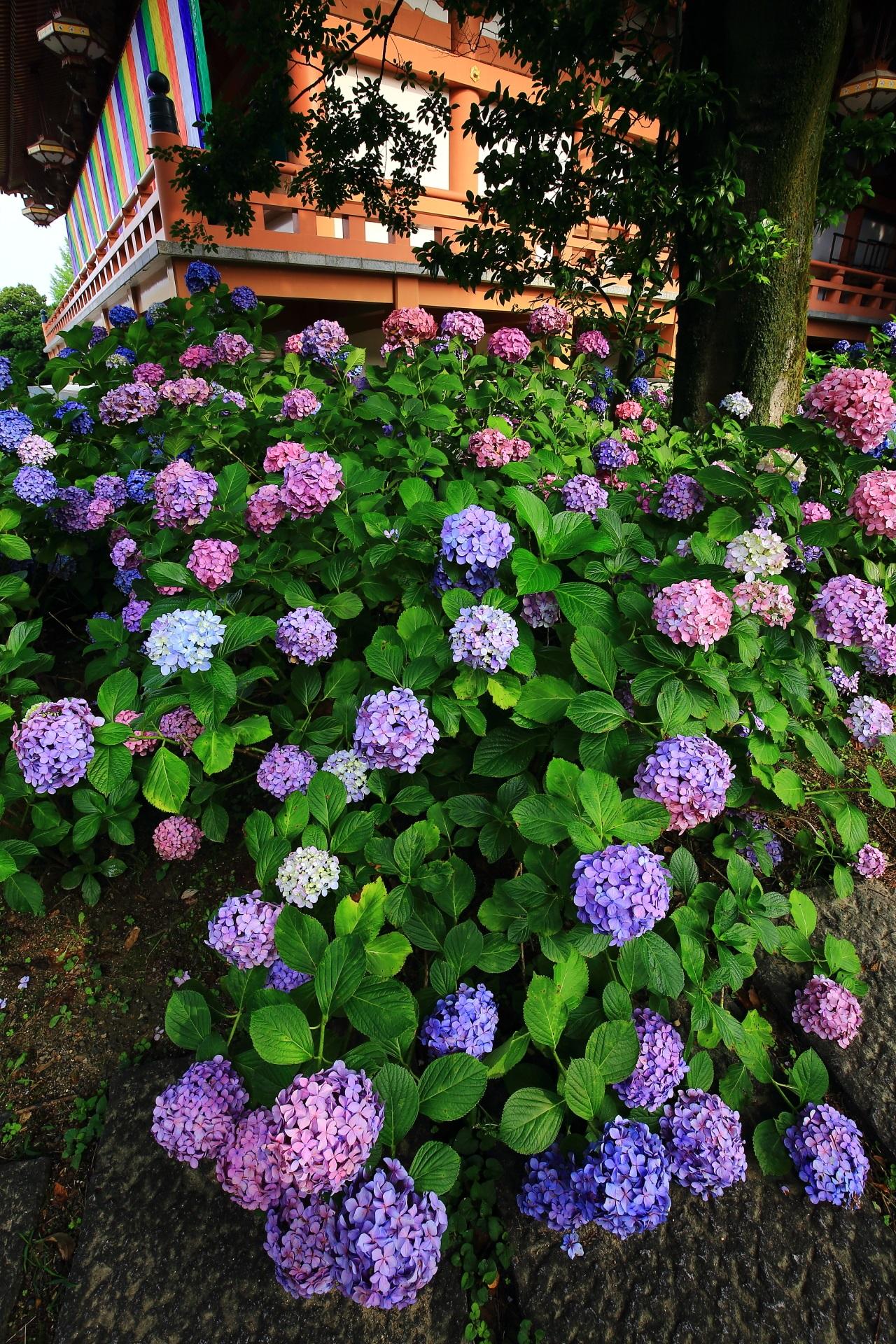 智積院の素晴らしい紫陽花と初夏の情景