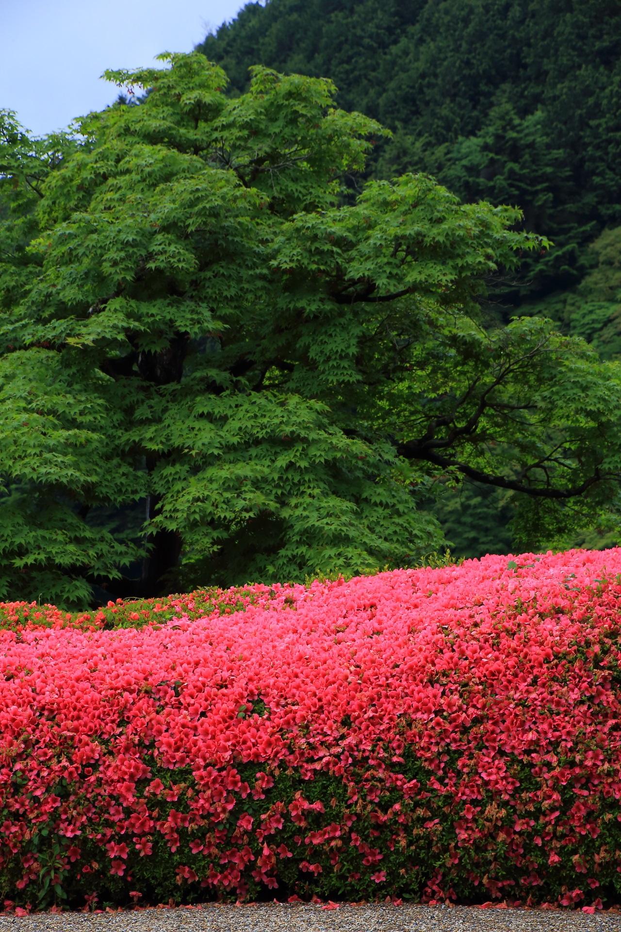 深い緑の青もみじや背景の山に映える鮮やかなピンクのサツキ