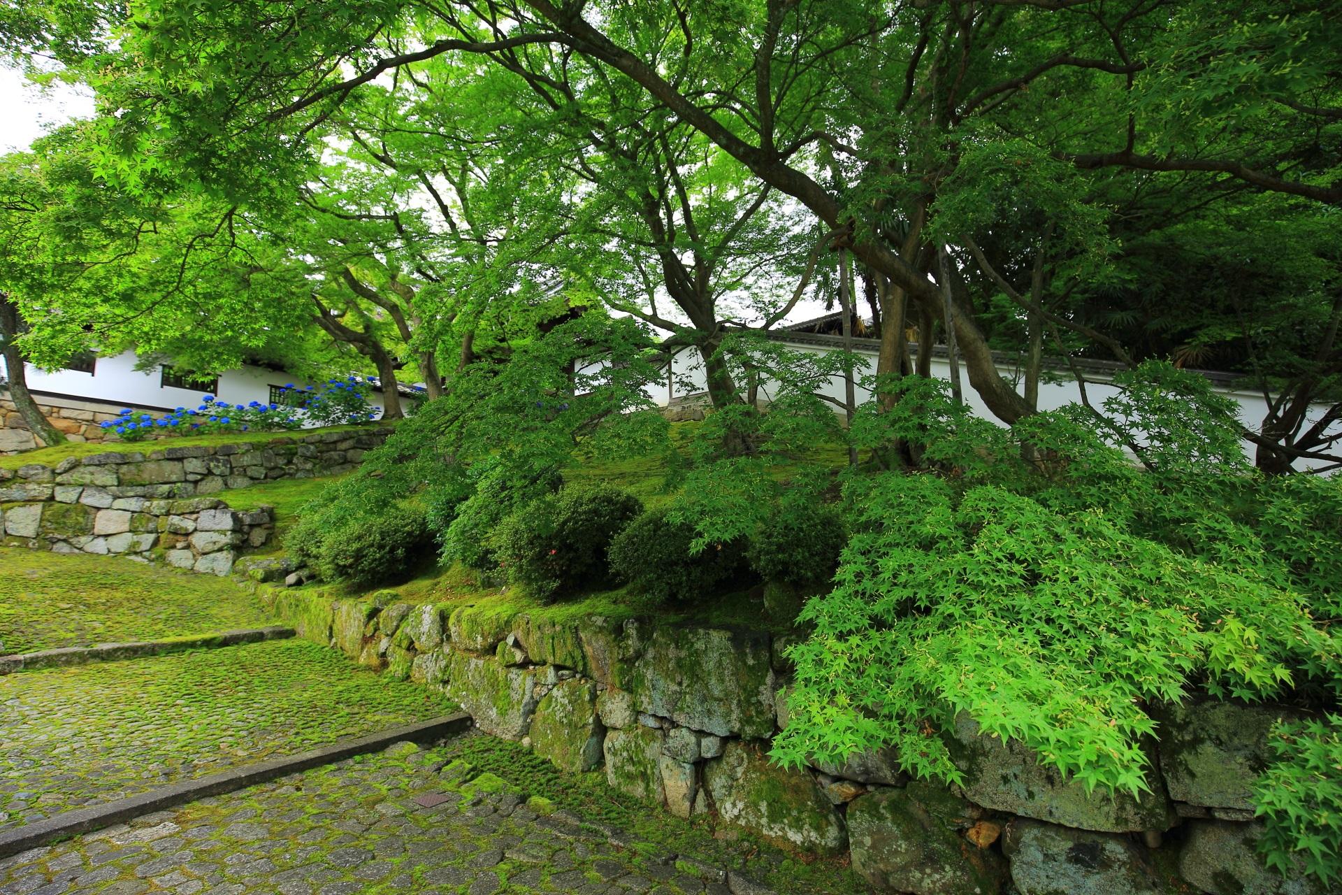 知恩院の素晴らしい紫陽花と青もみじと苔と初夏の情景