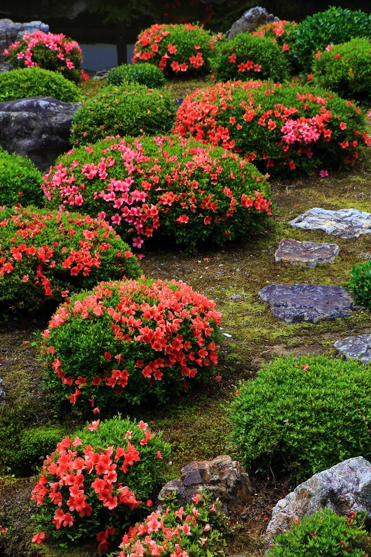 丸く綺麗に手入れされた株に咲く満開のサツキの花々と岩や飛び石