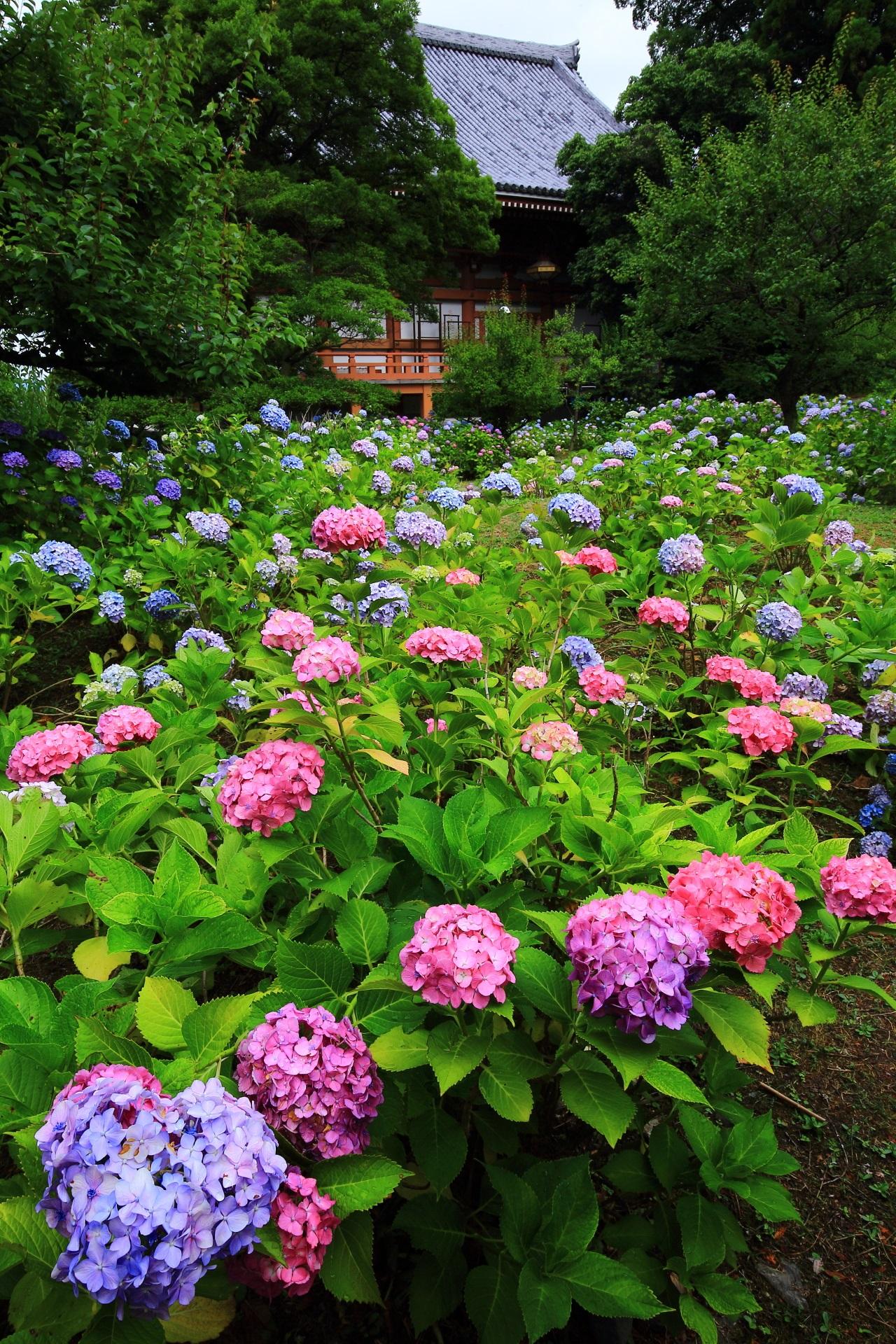 智積院の初夏の紫陽花の彩り