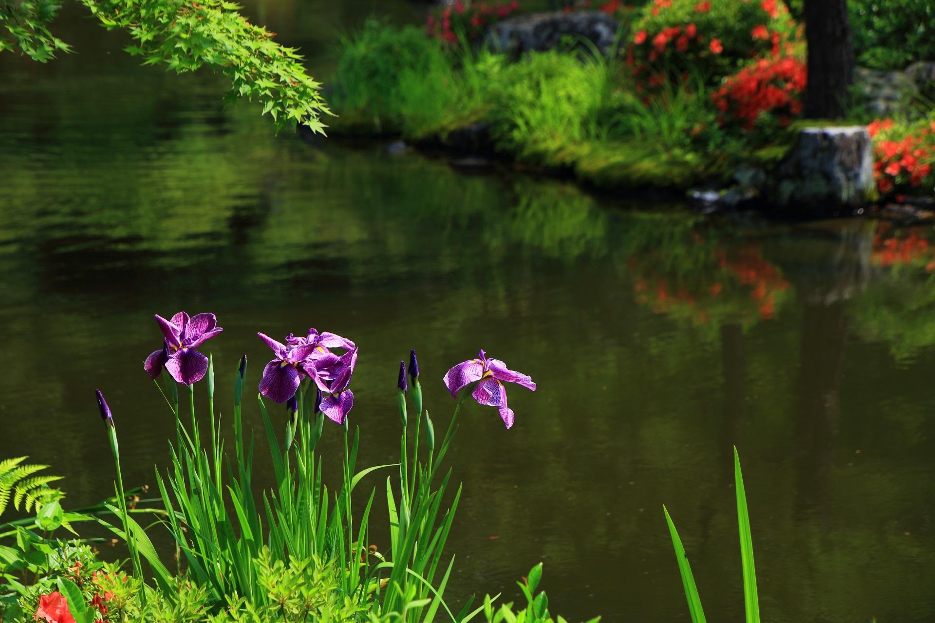 等持院の心字池のサツキと花菖蒲(ハナショウブ)の鮮やかな春色の競演