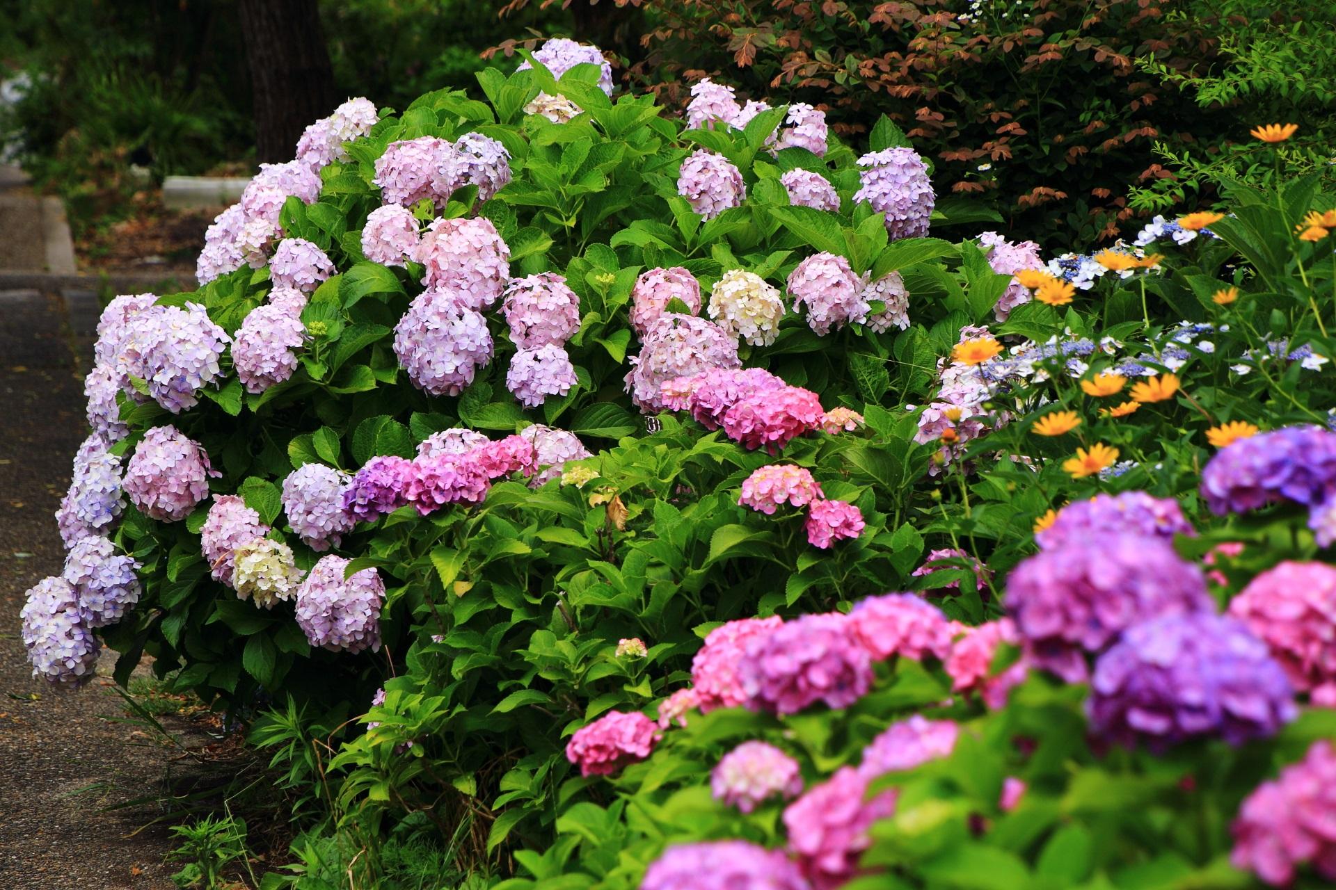 他の花も加わり多種多様な初夏の彩りに染まる宇治川派流