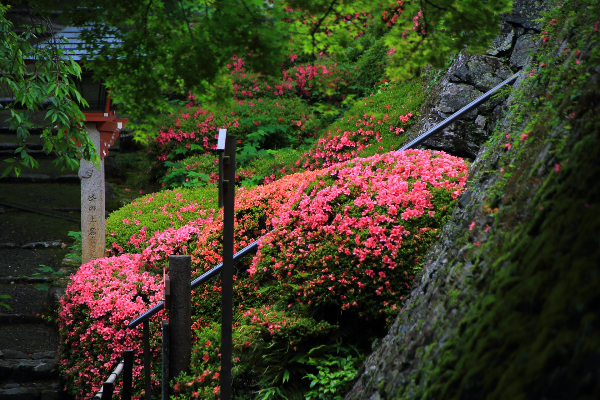 鐘楼堂(つりがね堂)前から眺めた遊龍の松の下のサツキと緑