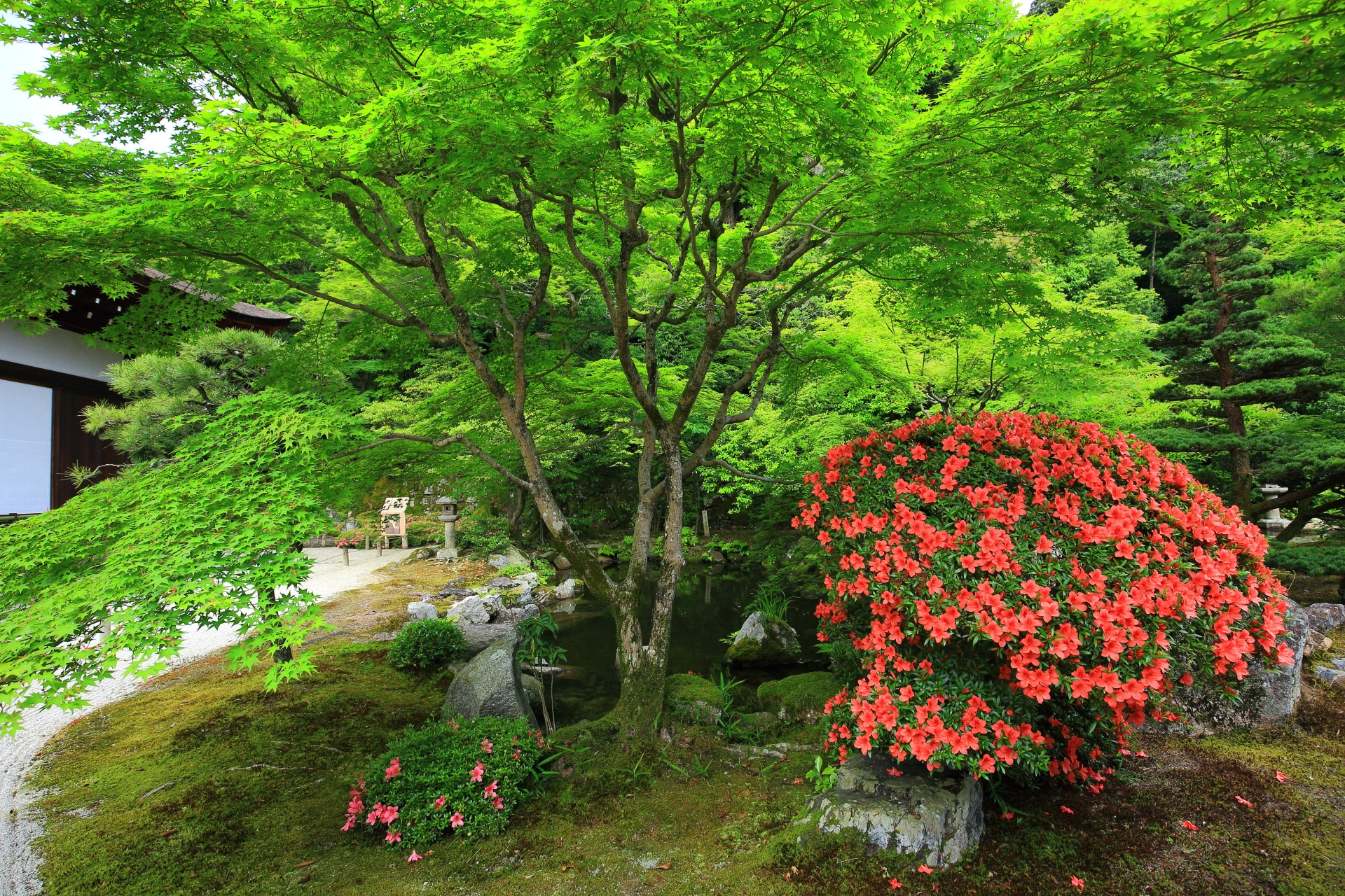 新緑や青もみじとサツキの花の緑と朱色の綺麗なコントラスト