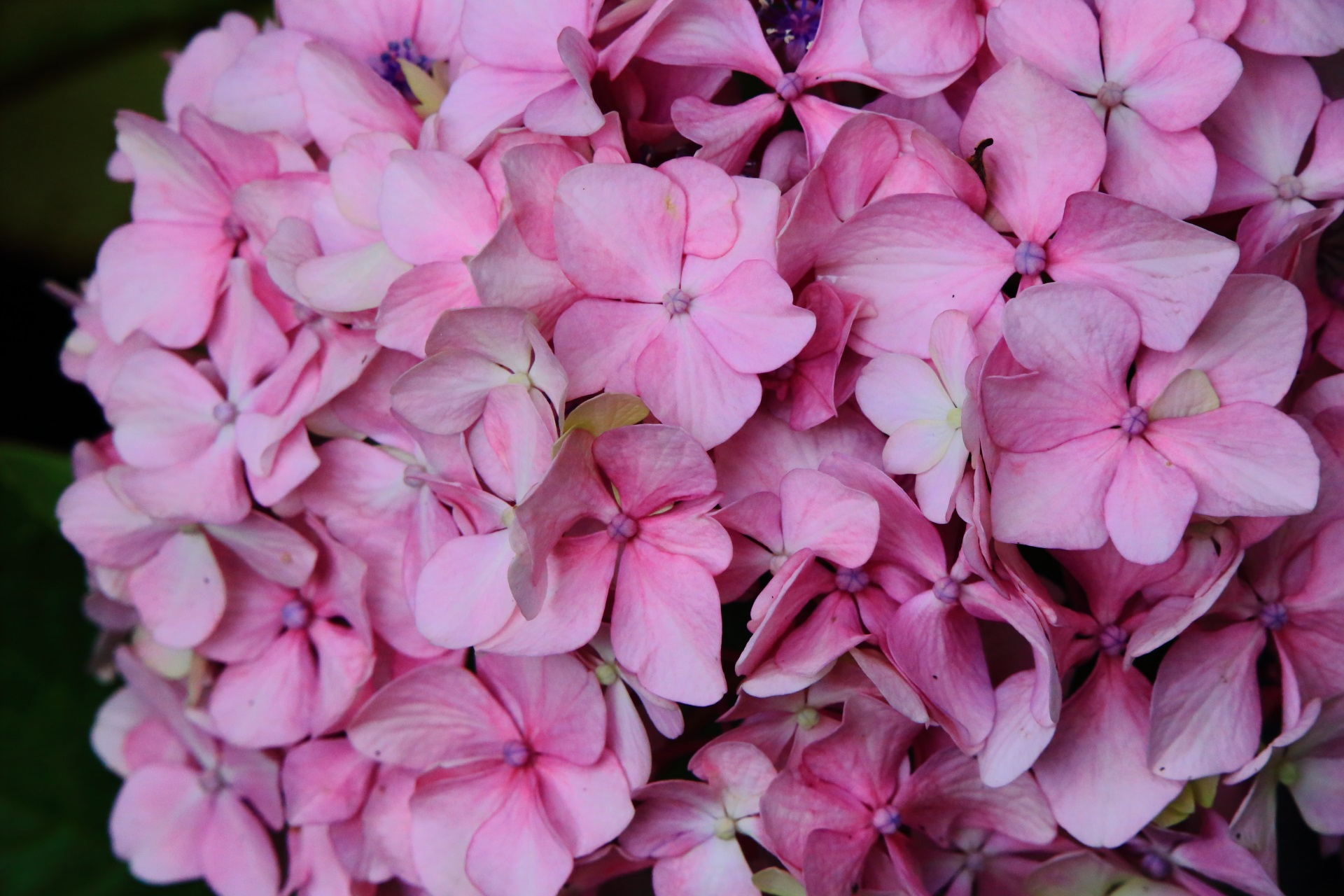 智積院のピンクの淡い色合いの紫陽花