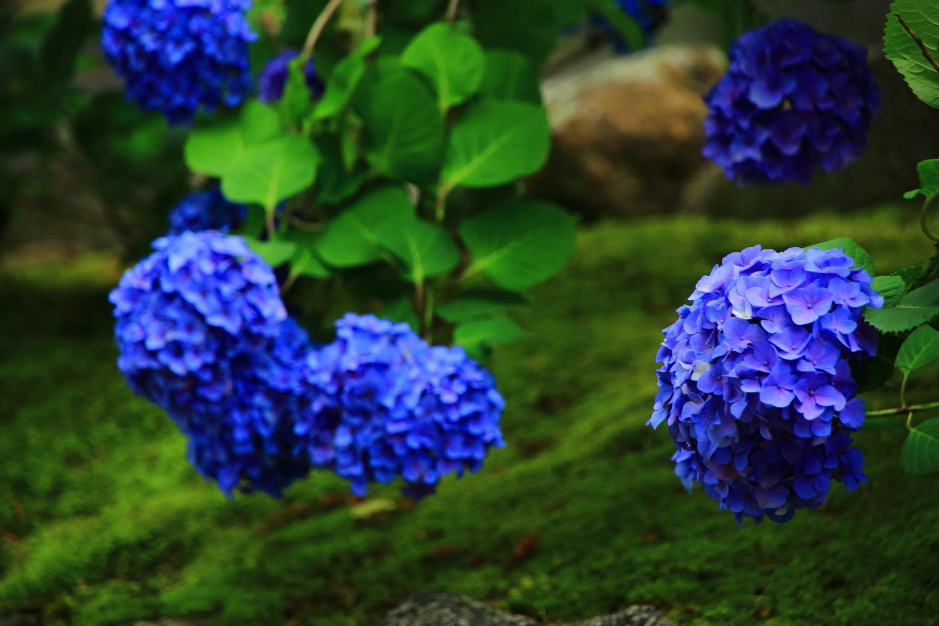柔らかい苔の上にしっとりと咲く知恩院の紫陽花