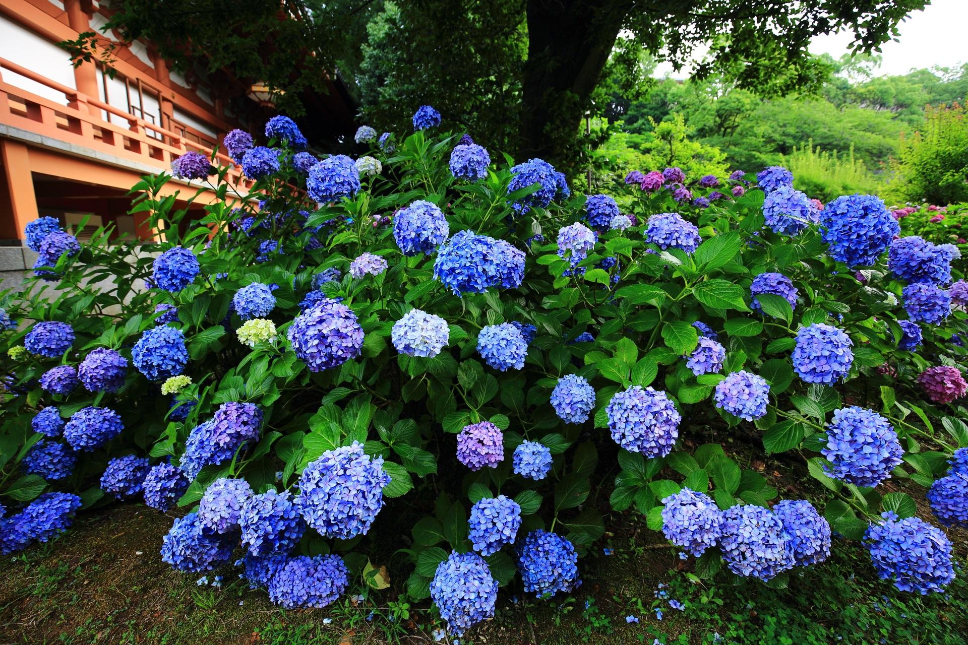 智積院の満開のブルーの鮮やかな紫陽花