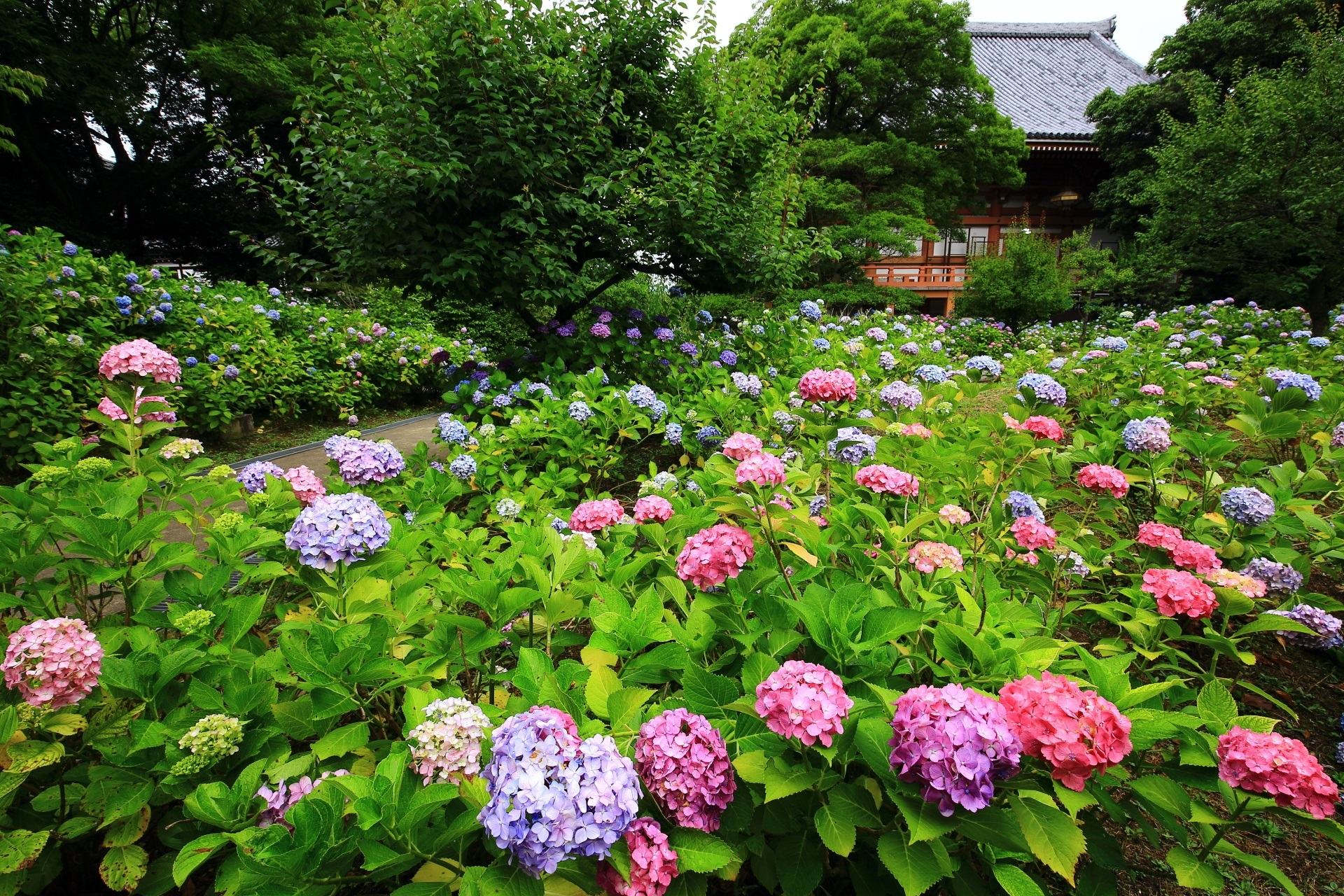 一面に広がる智積院の紫陽花