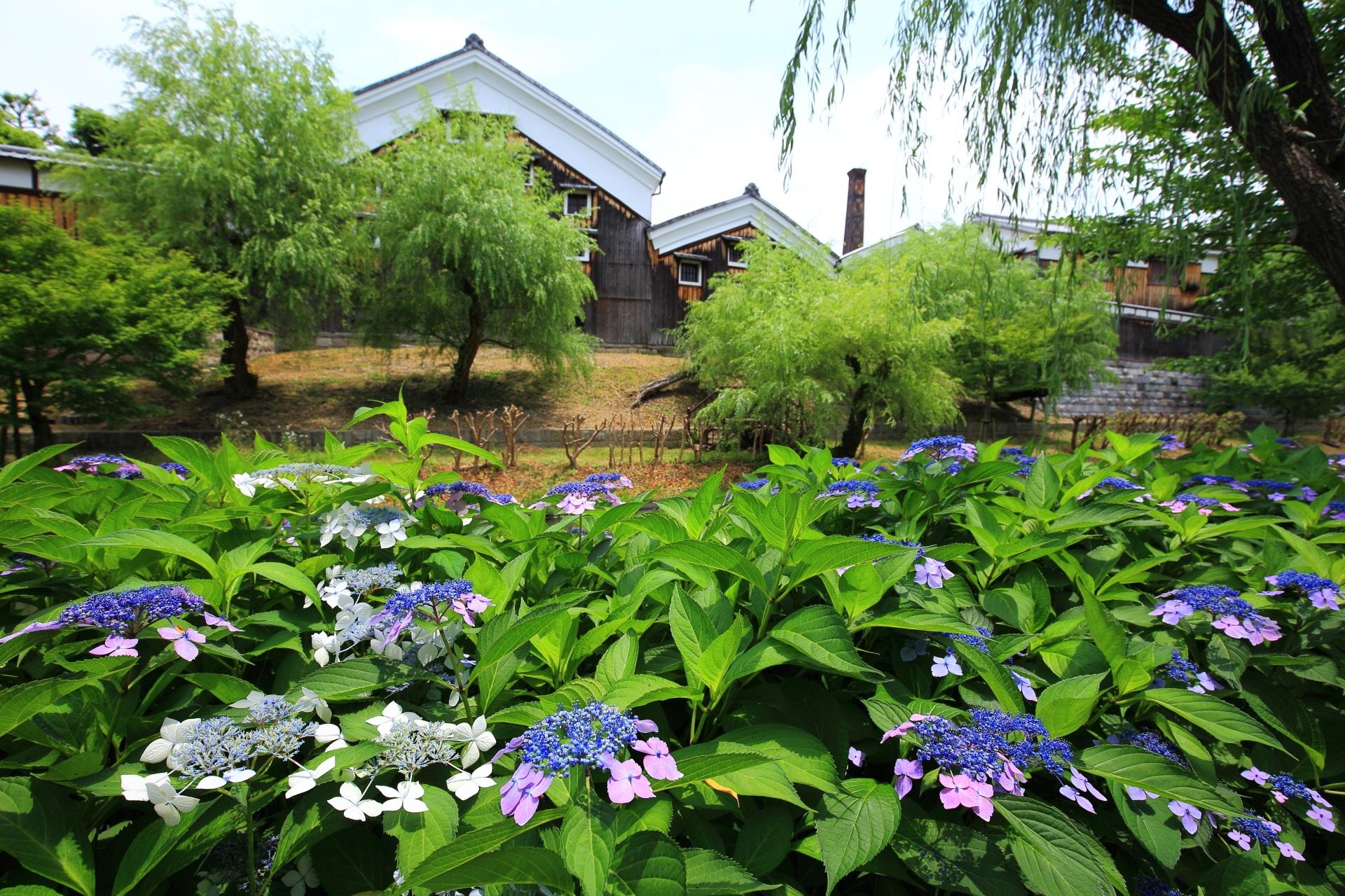 風情ある建物や街並みと良く合う華やかな紫陽花
