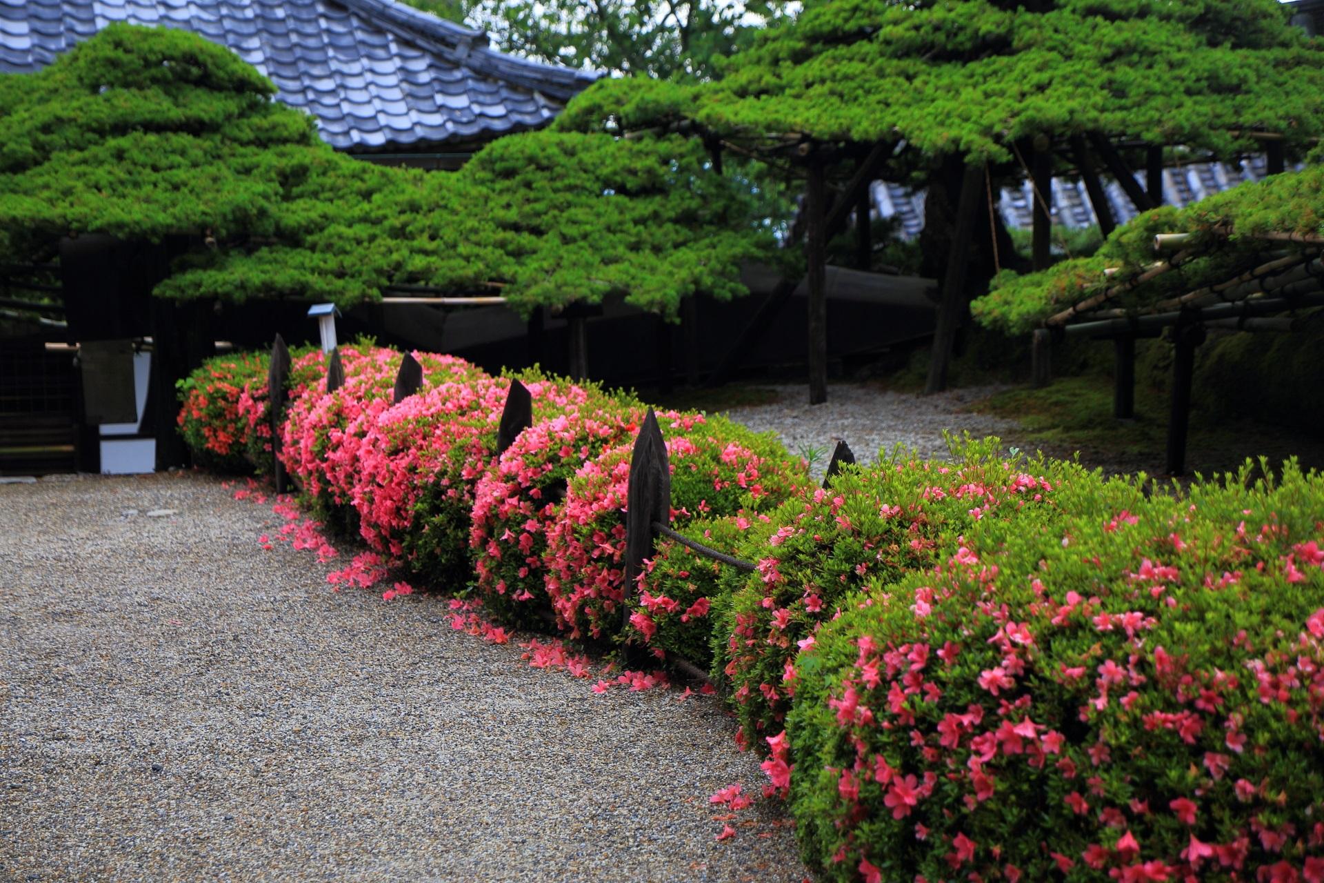 遊龍の松の緑とサツキのピンクの綺麗なコントラスト