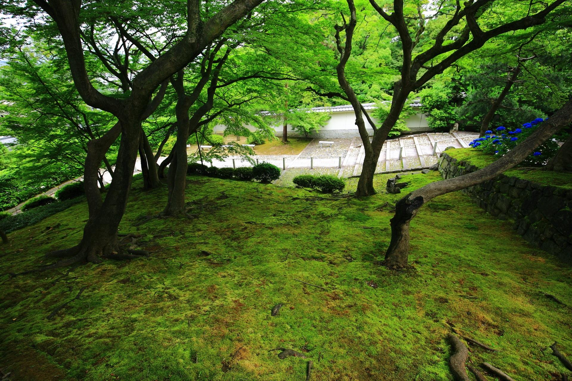 深い緑につつまれる知恩院の黒門坂の青もみじと苔