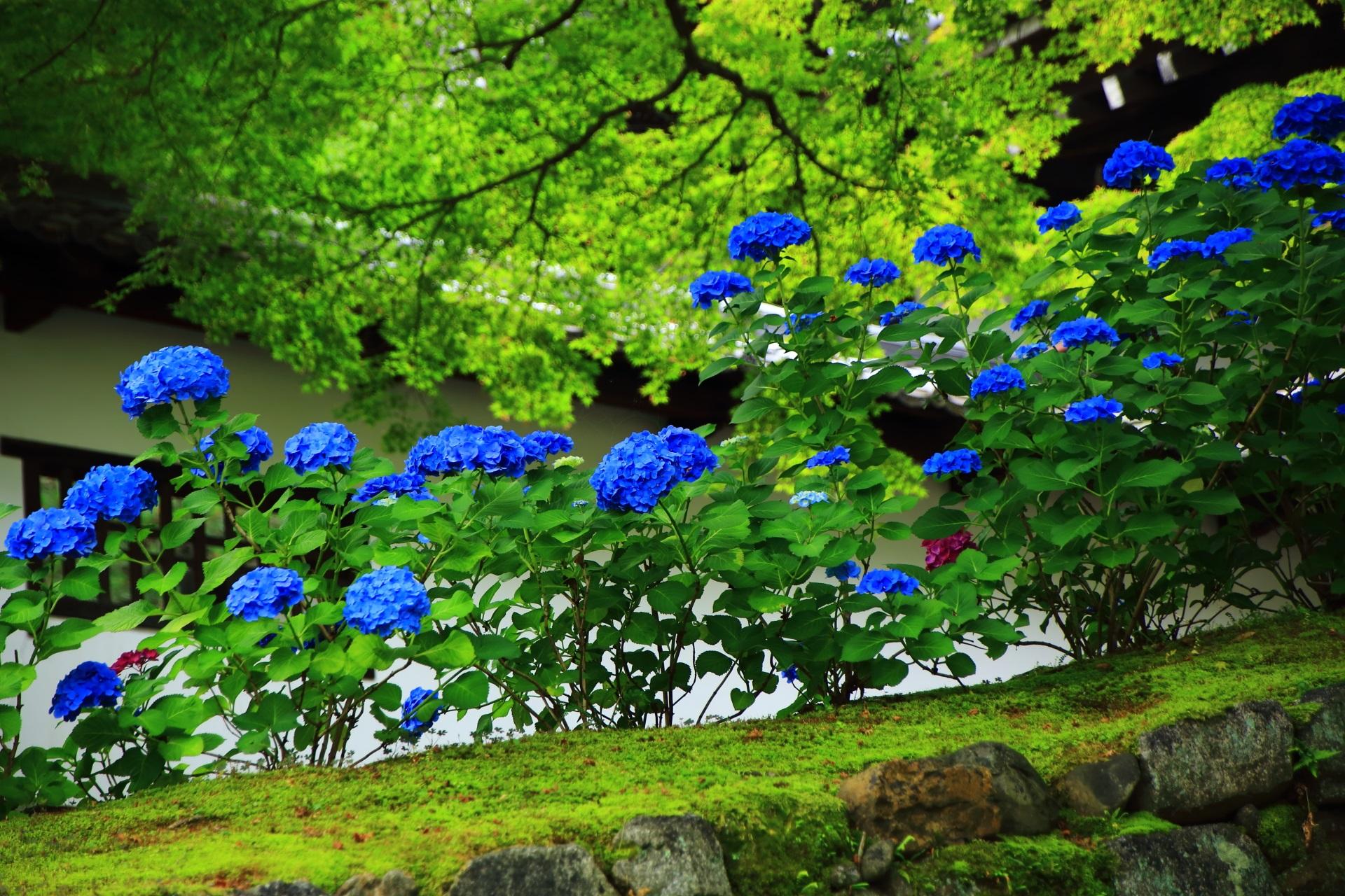 青もみじと苔の中で映える青いアジサイ