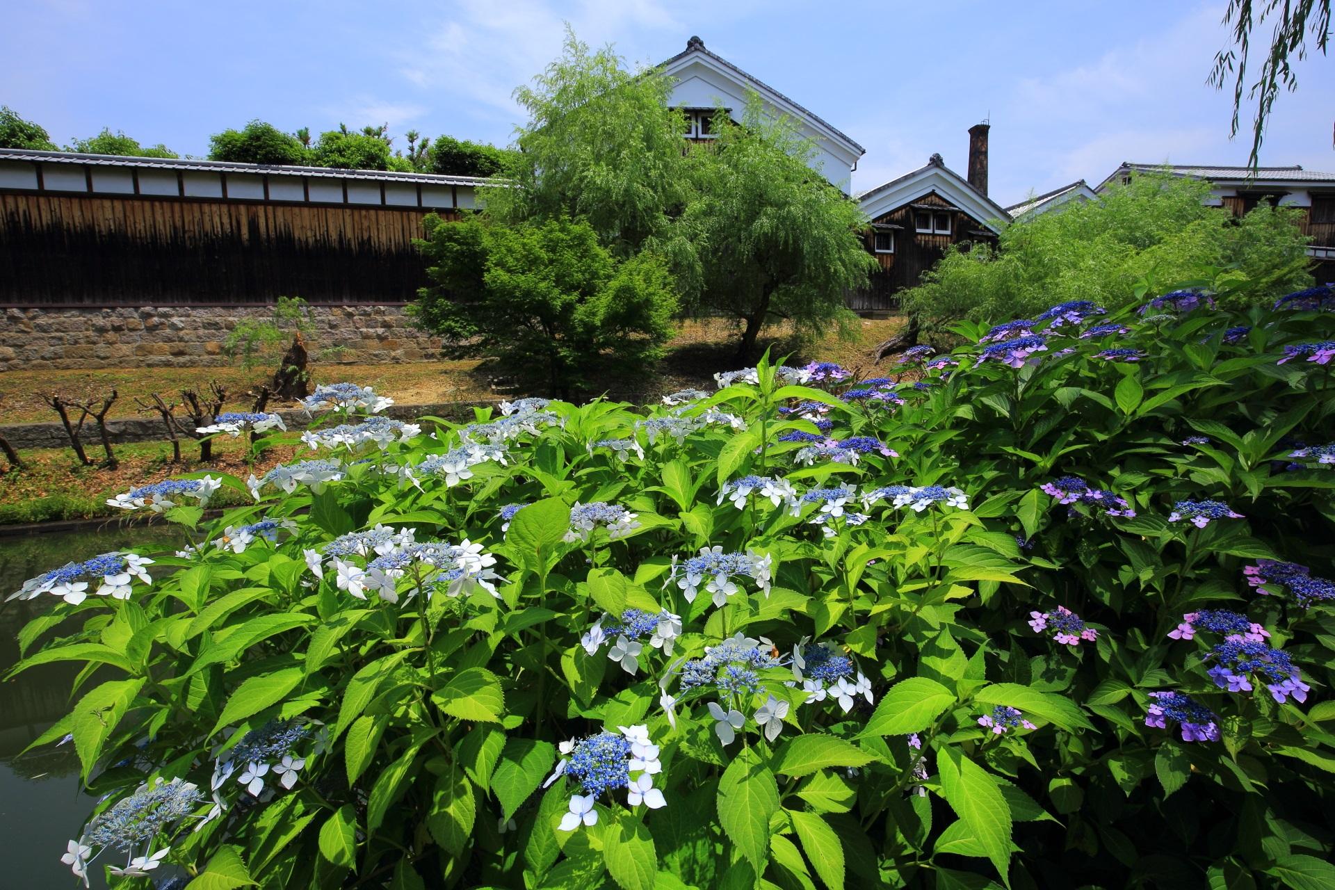 宇治川派流の素晴らしい紫陽花と初夏の情景や街並み