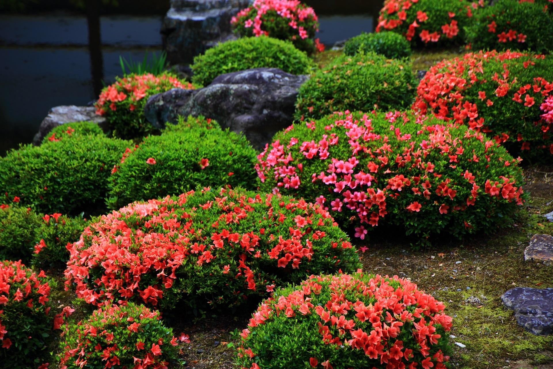 鮮やかな緑に映える煌びやかなピンクや朱色のサツキの花