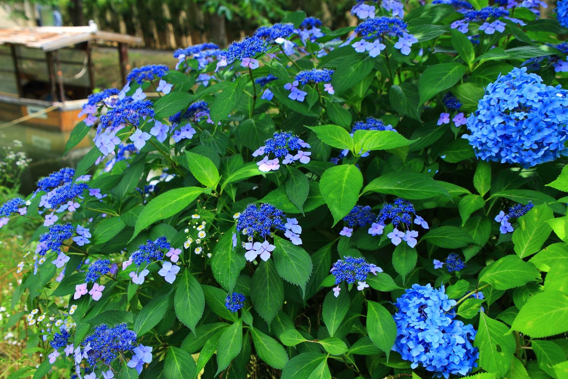 宇治川派流の鮮やかな青い紫陽花と風情ある十石舟