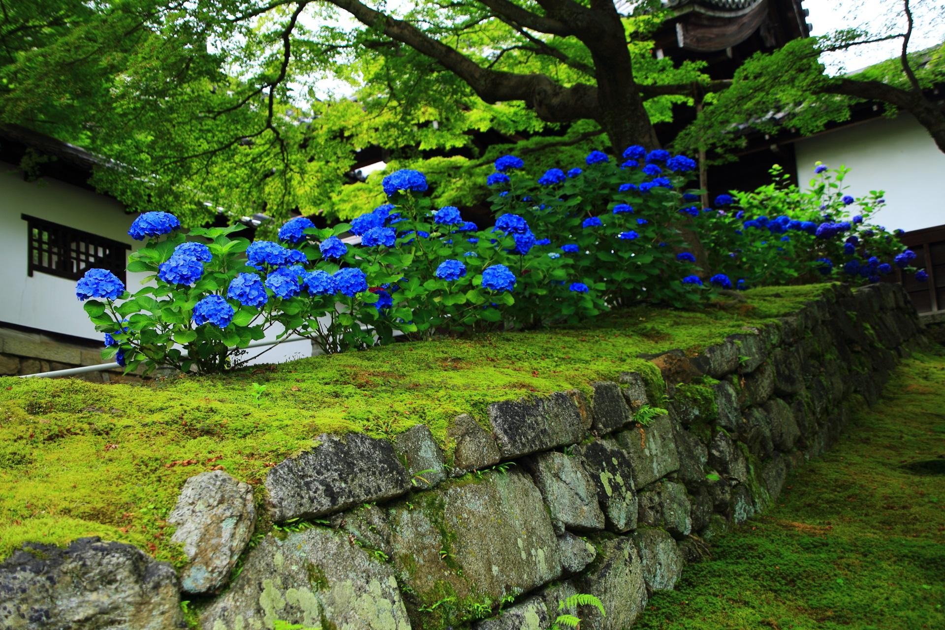 石垣と苔の上に咲く鮮やかな紫陽花