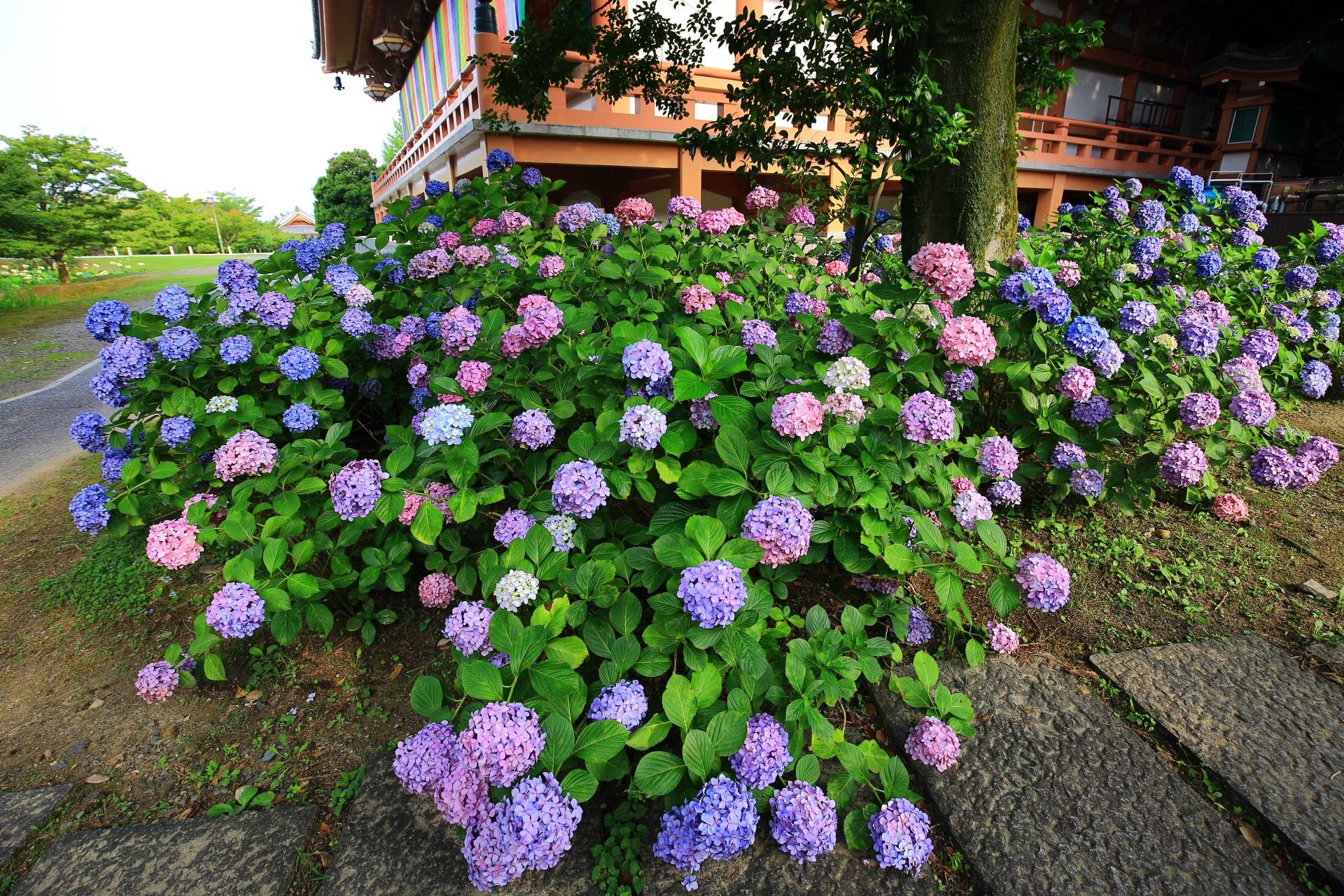 智積院の豪快に咲き誇る紫陽花