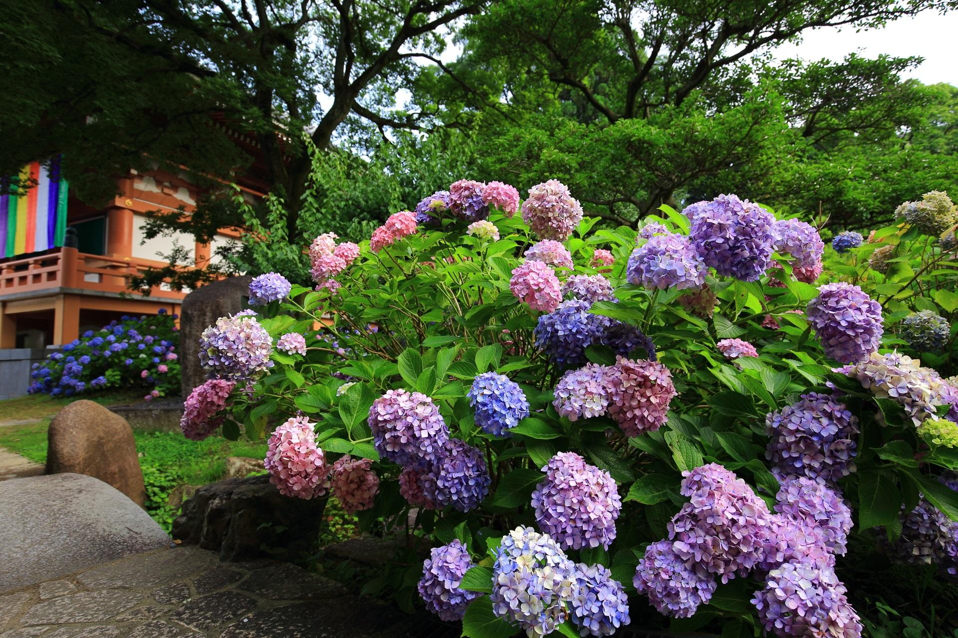 大きな紫陽花の花で溢れる智積院