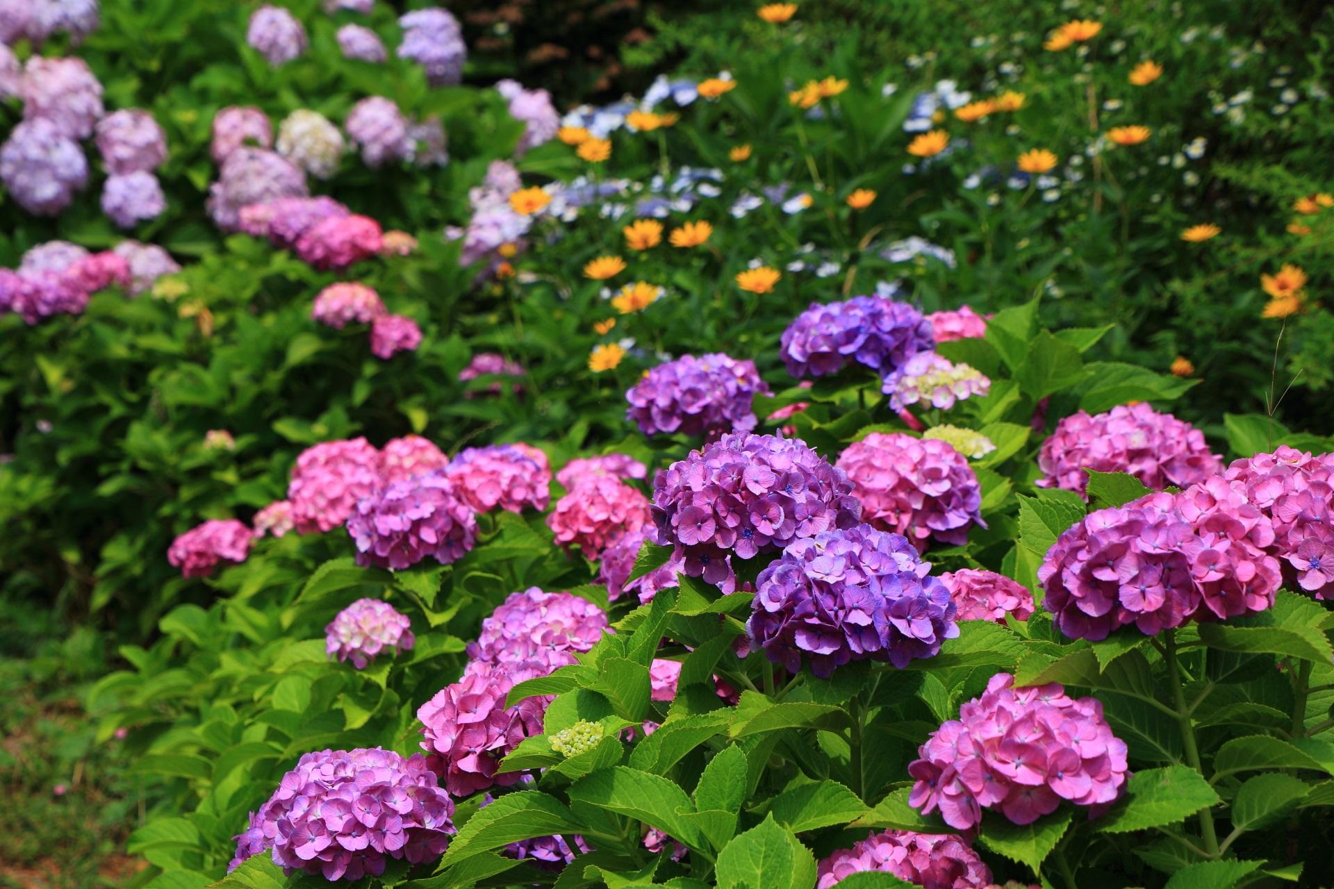 色とりどりの紫陽花につつまれる宇治川派流