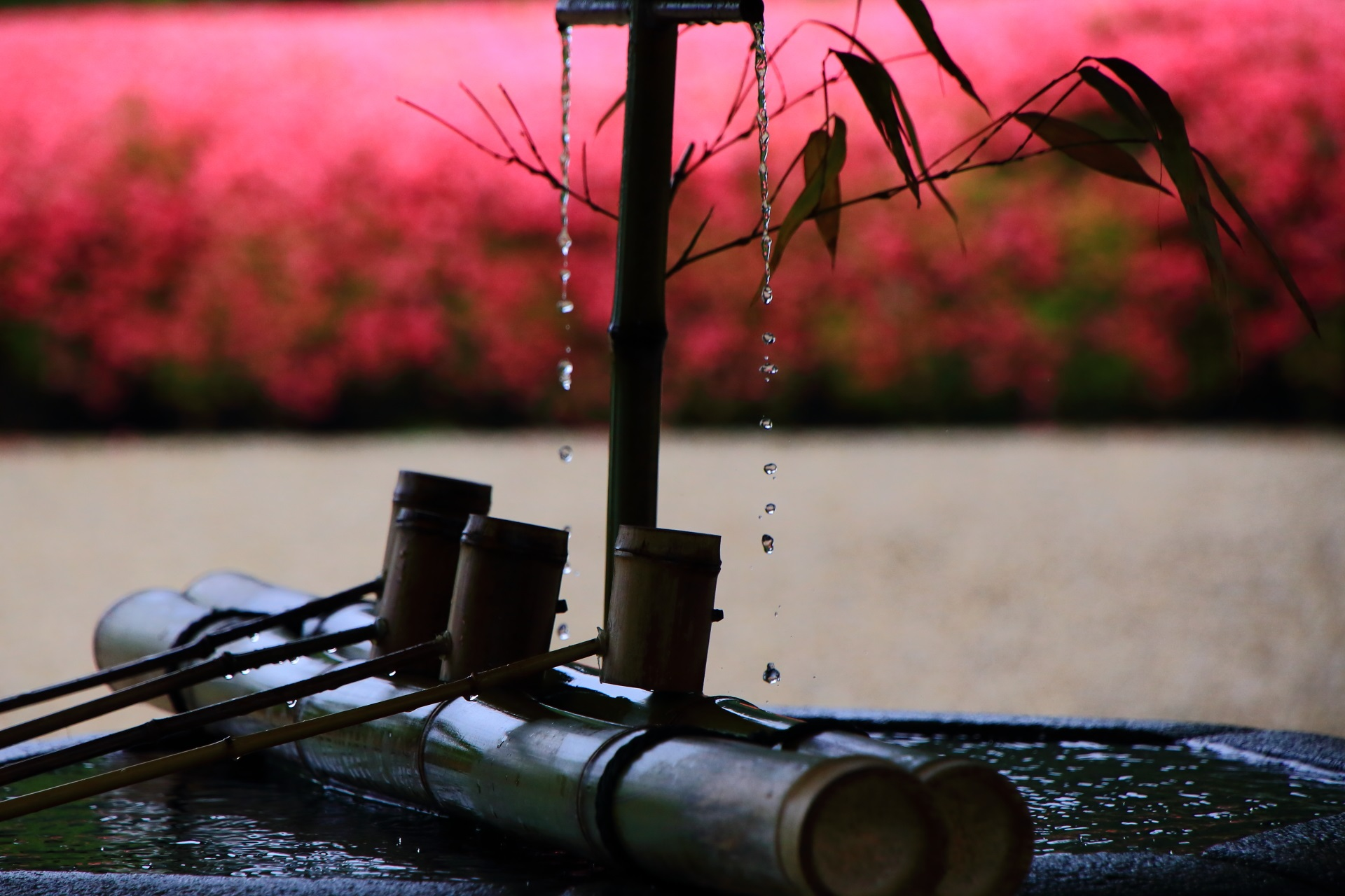 善峯寺のピンクのサツキを背景に落ちる水滴